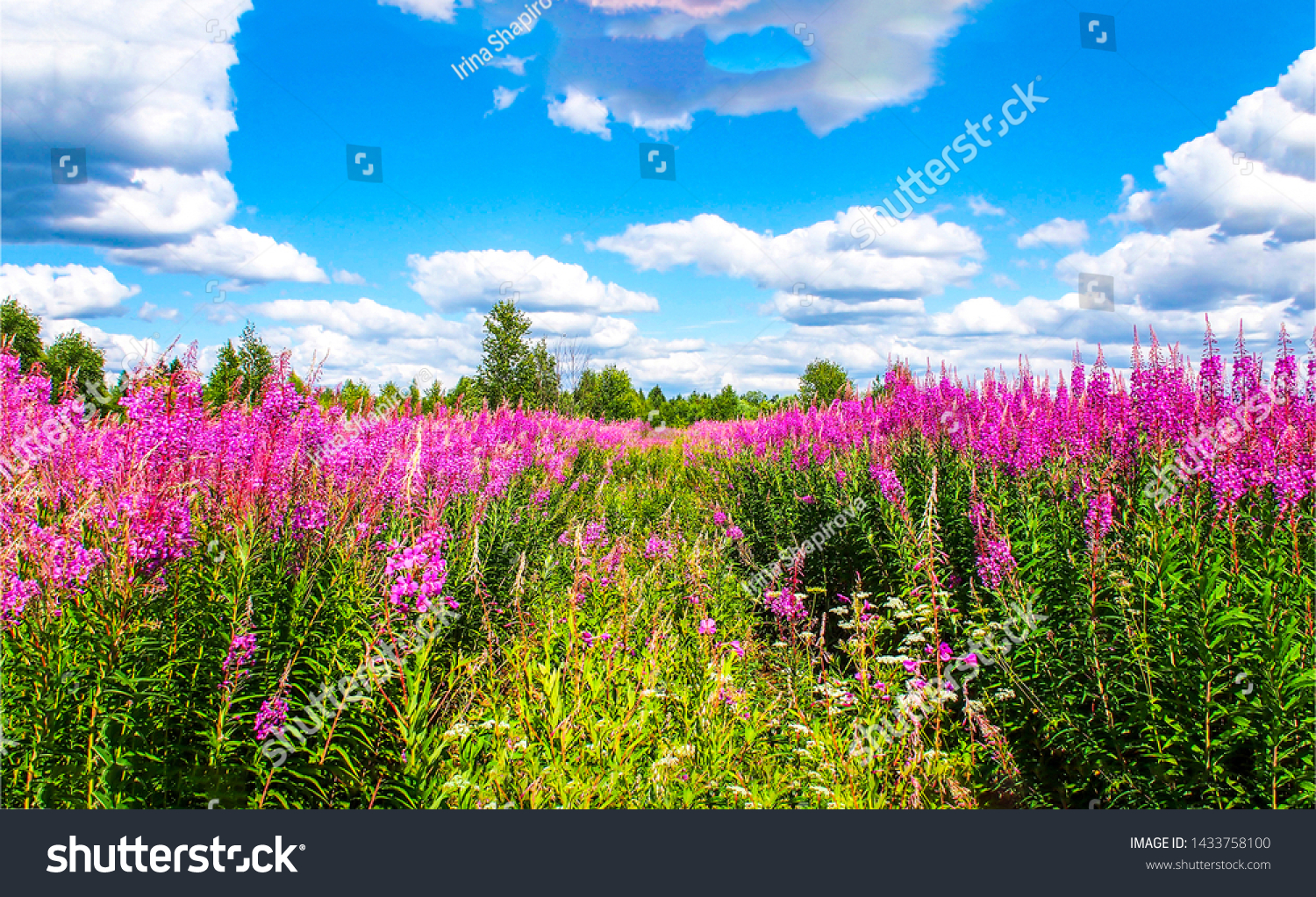 Summer meadow flowers. Summer meadow flowers landscape. Summer meadow flowers blue sky white clouds. Summer meadow flowers view #1433758100