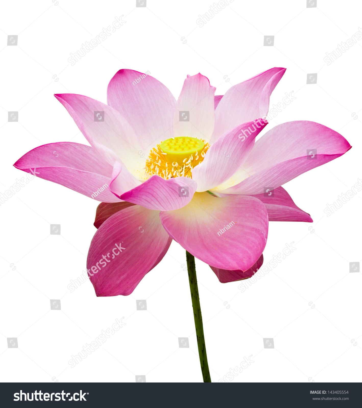 Pink Lotus Flower With Young Seed Isolated On White Ez Canvas