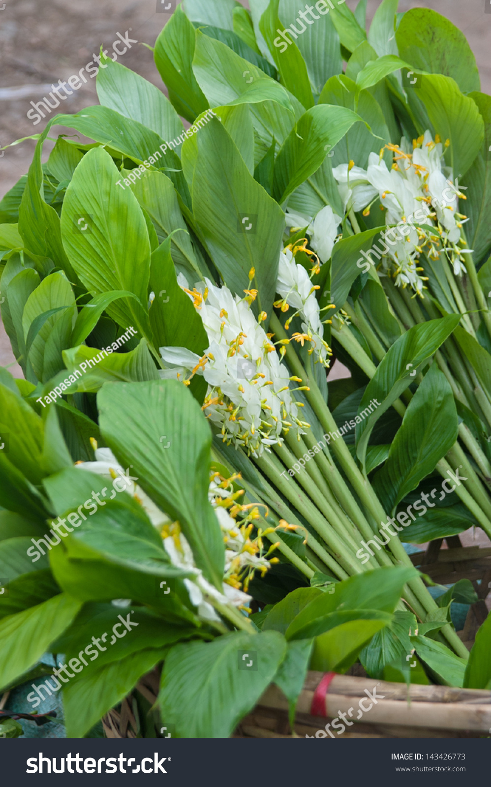 White dragon flower smithatris supraneanae globba stock photo edit white dragon flower smithatris supraneanae or globba winitii in kengtong central marketis mightylinksfo