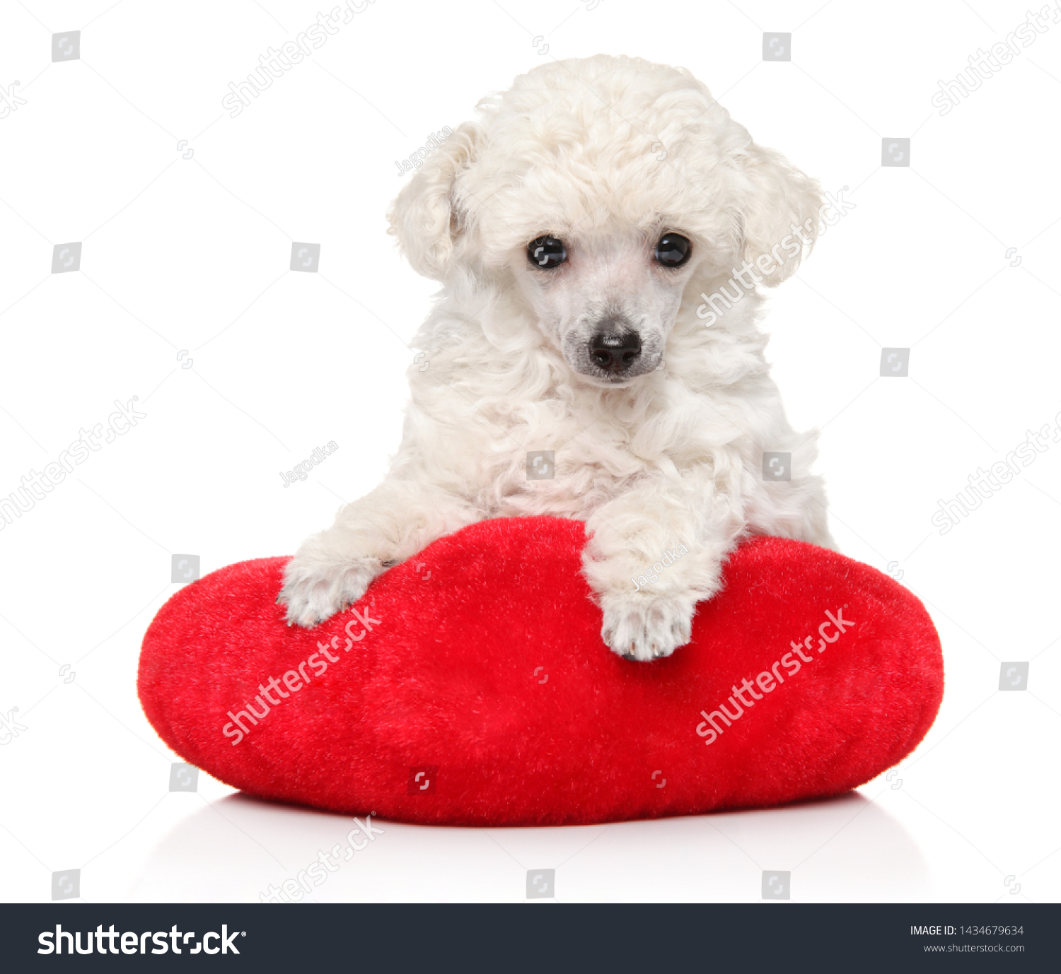 White Toy Poodle Puppy Lying On Red Pillow On White Background Baby Animal Theme