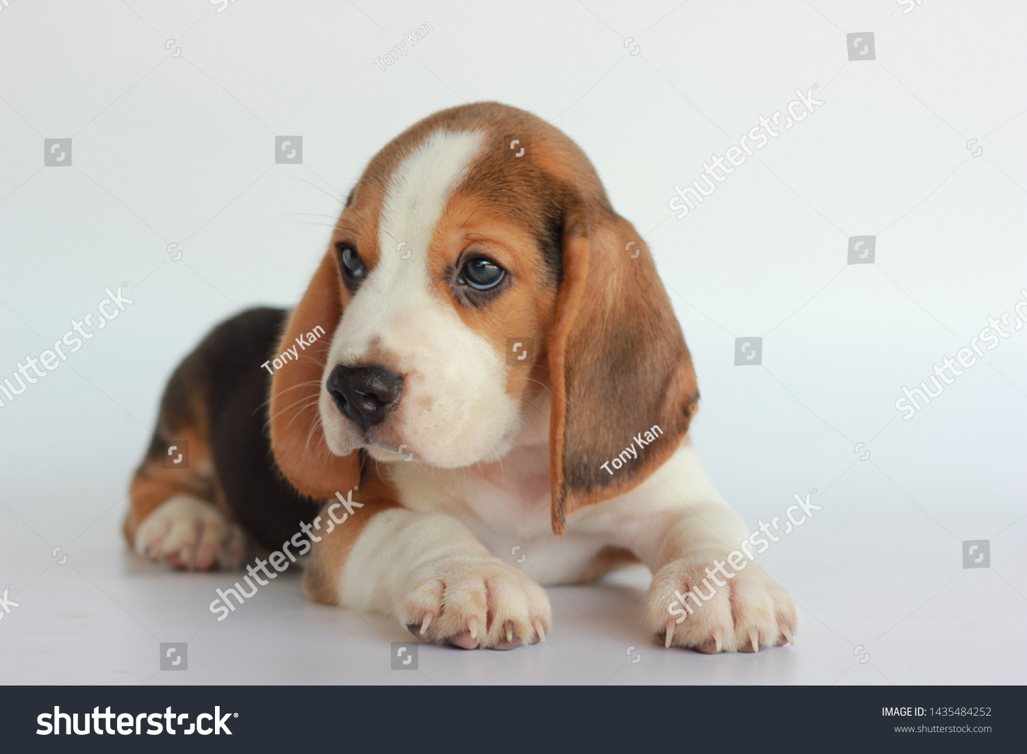 Tri Color Beagle Puppy On Isolated Stock Photo Edit Now 1435484252
