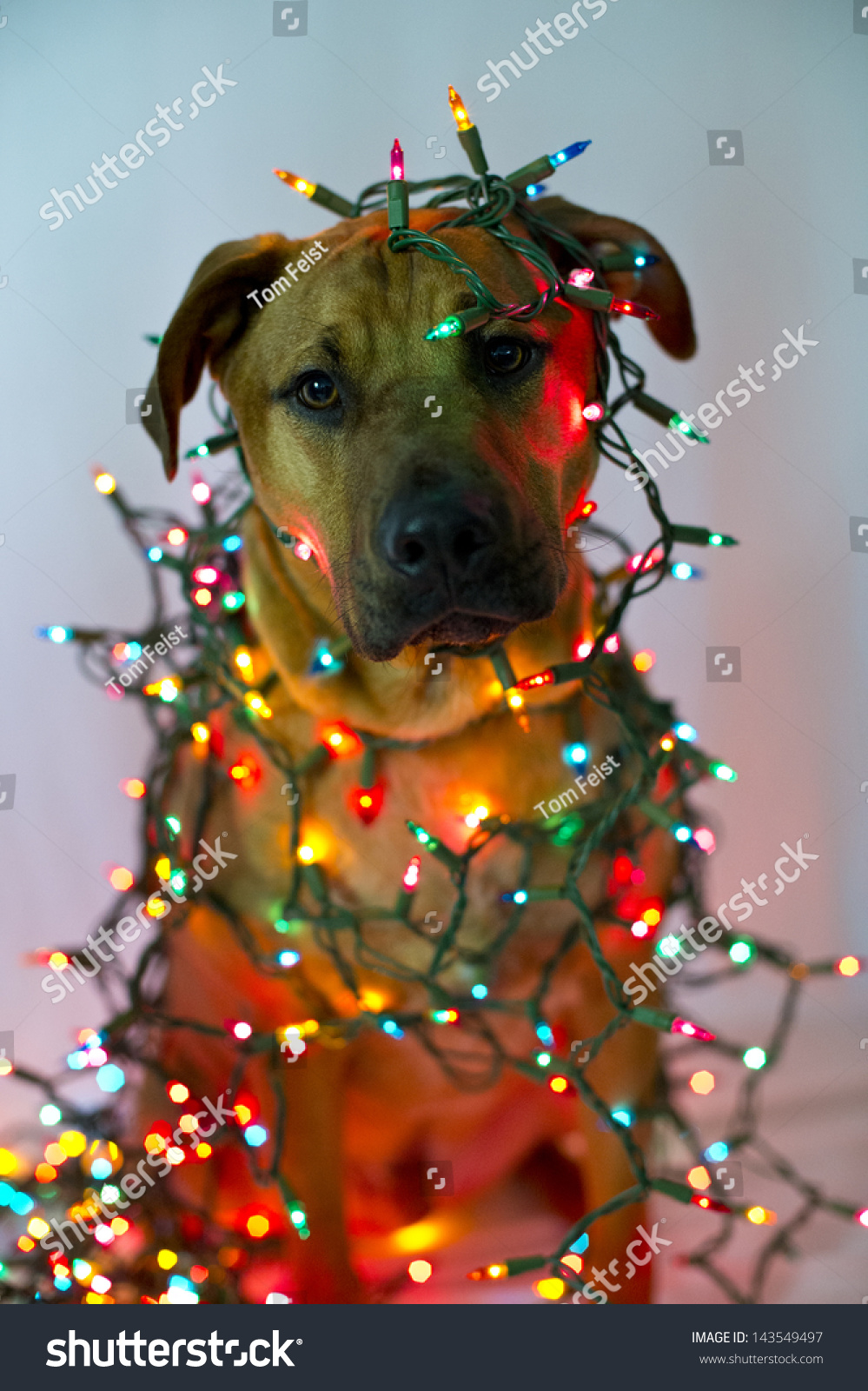 a dog is wrapped in christmas lights - Dog Christmas Lights