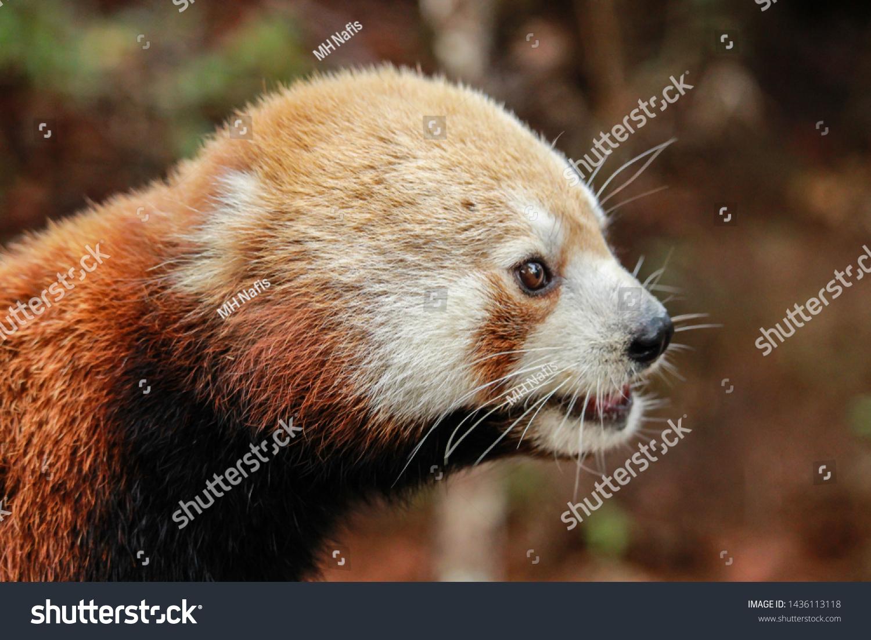 Cute Baby Red Panda Stock Photo Edit Now 1436113118