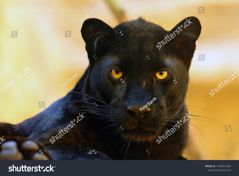 The leopard (Panthera pardus) portrait. Melanistic leopard are also called black panther. #1436657456
