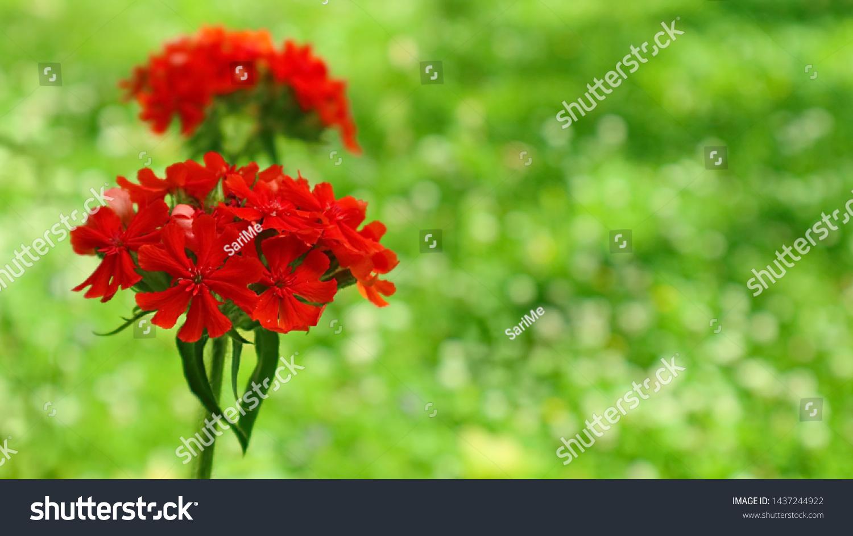 stock-photo-burning-love-lychnis-chalced