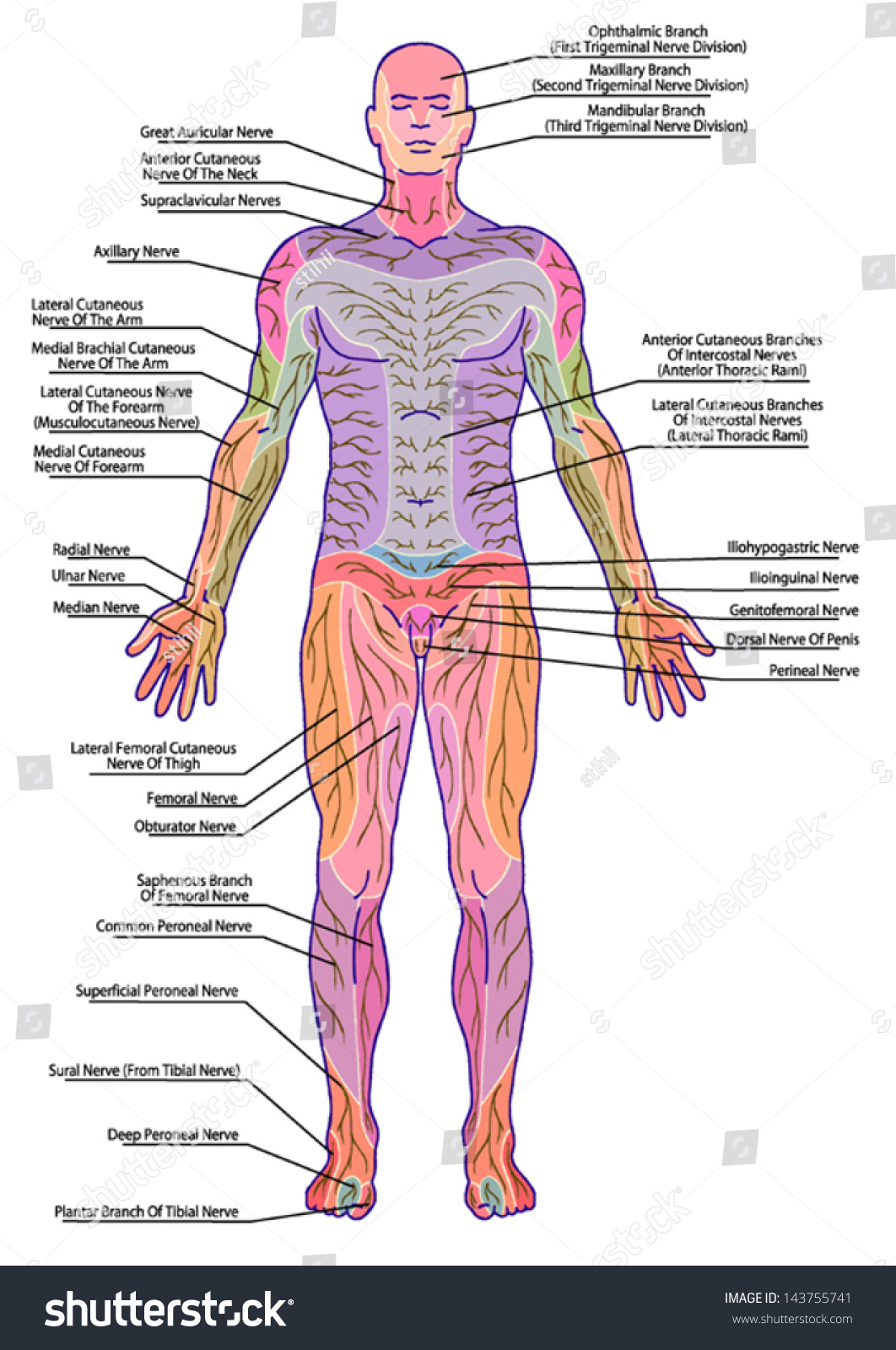 Drawing Medical Didactic Board Anatomy Human Stock Photo (Photo ...