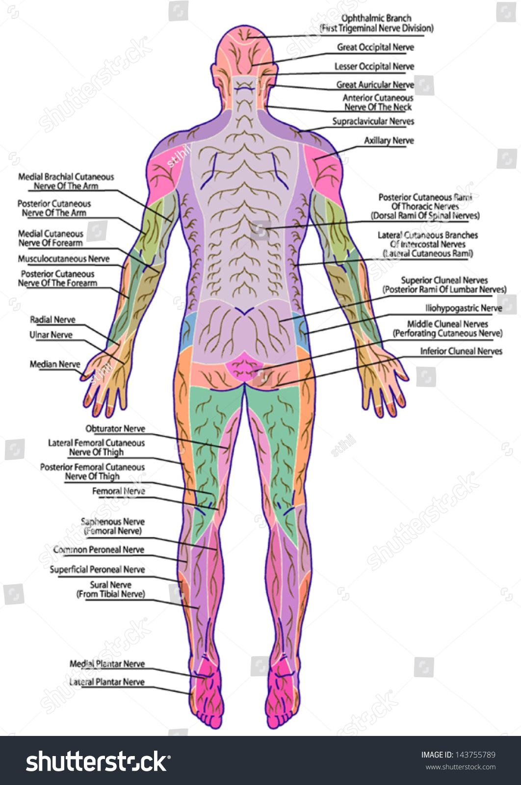 Drawing medical didactic board anatomy human stock vector drawing medical didactic board of anatomy of human pattern of peripheral sensory innervation system pooptronica