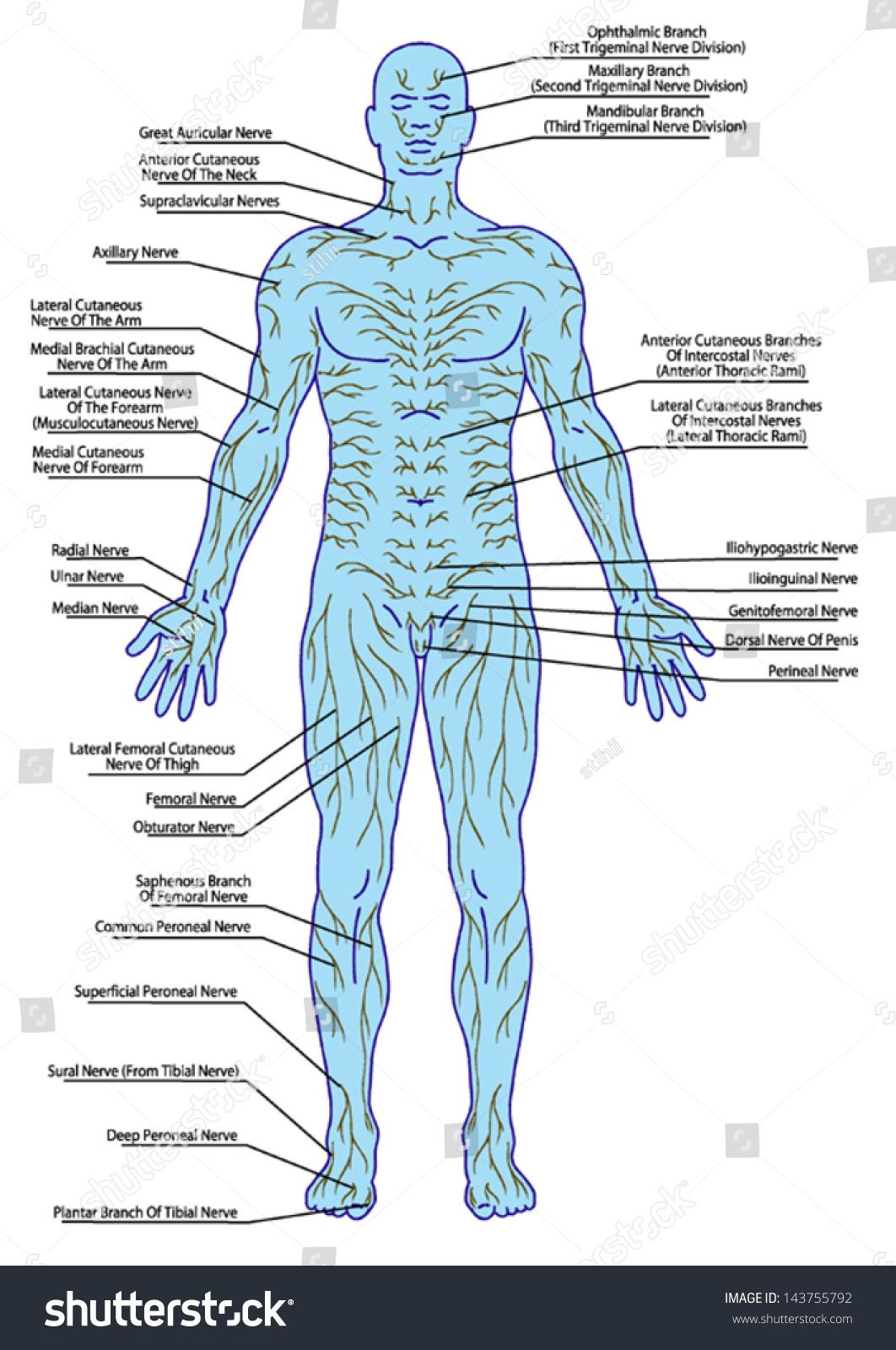 Drawing Medical Didactic Board Anatomy Human Stock Vector 2018