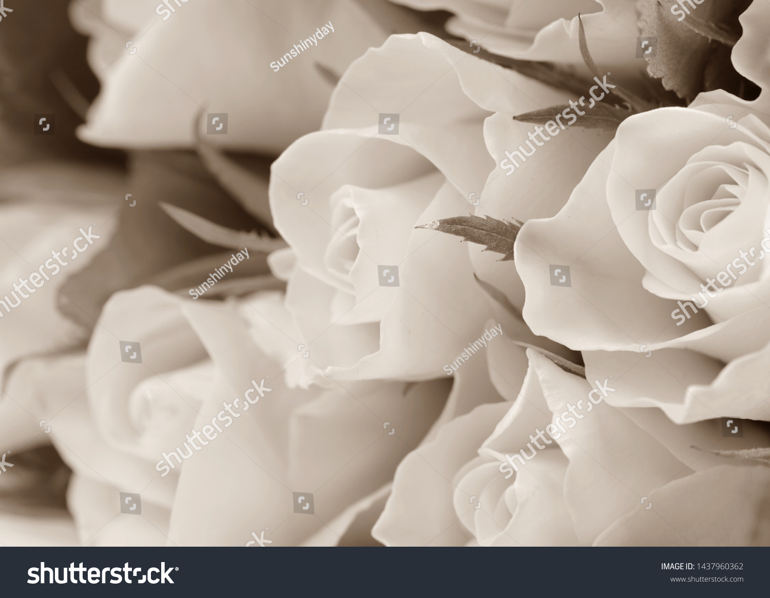 Beautiful sepia toned roses, background