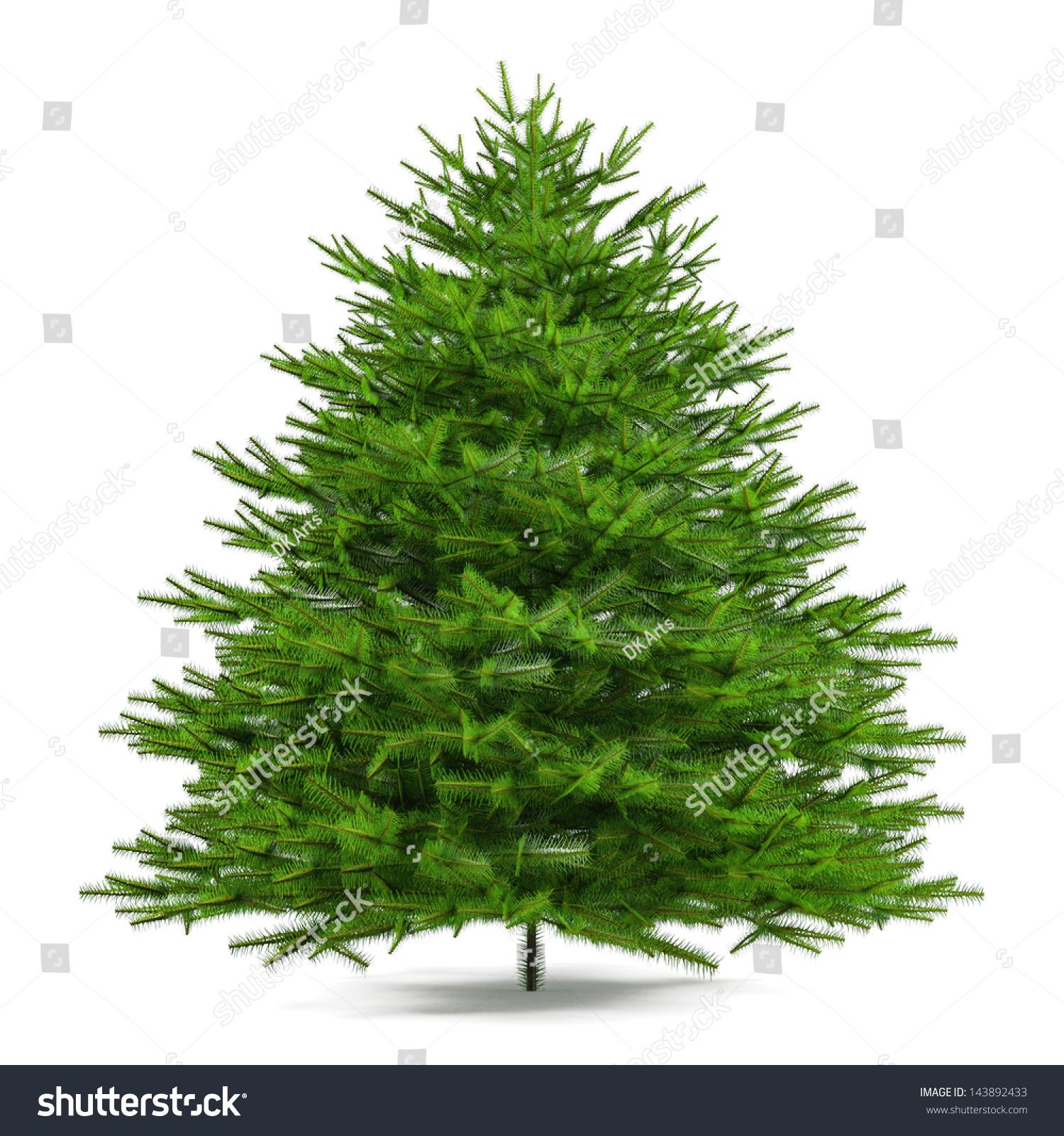 Pine tree isolated. Abies firma #143892433