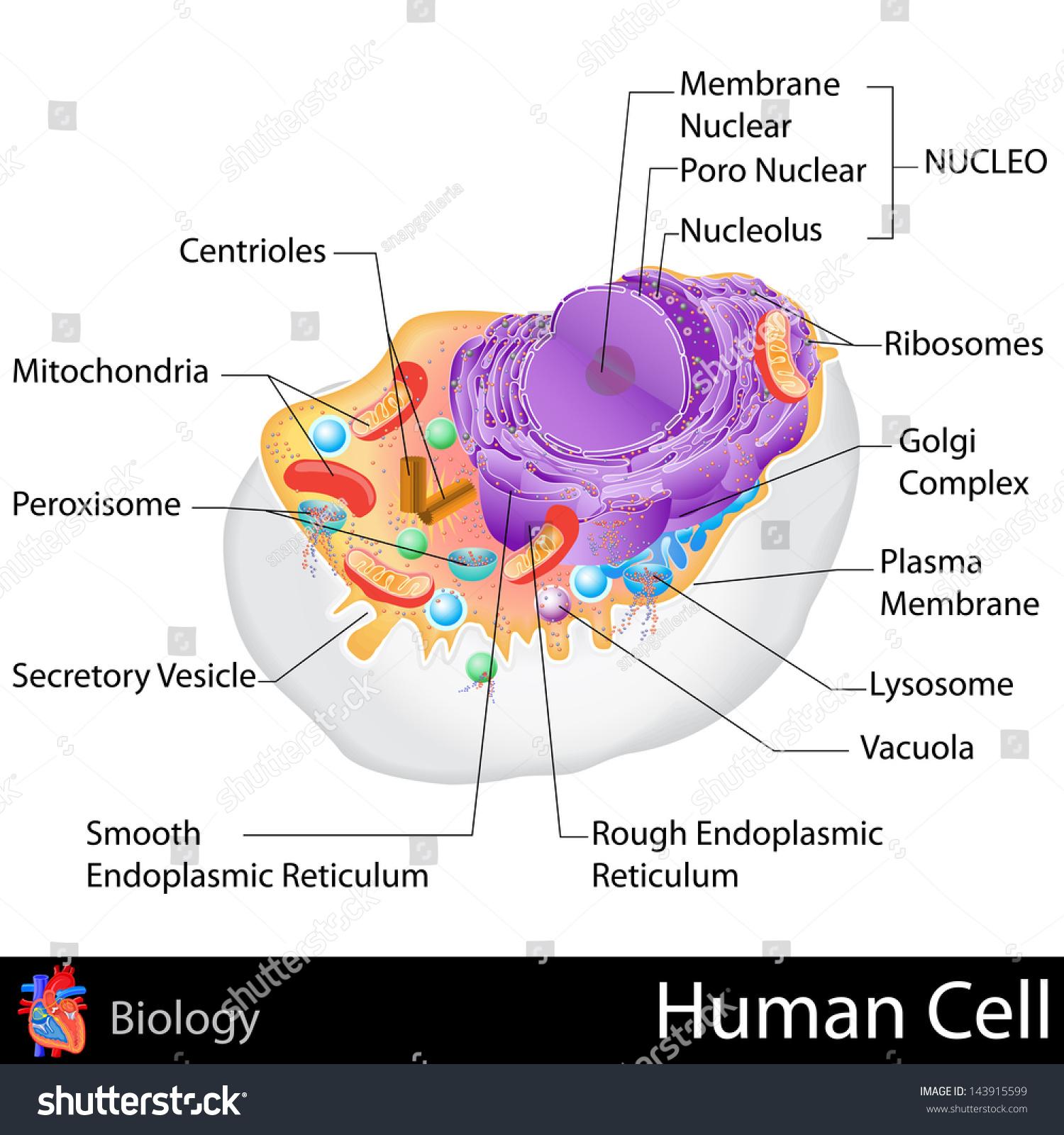stock vector easy to edit vector illustration of human cell structure 143915599 easy edit vector illustration human cell stock vector (royalty free