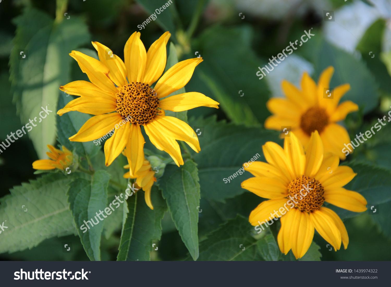 Beautiful Flowers Yellow Echinacea Bright Rays Stock Image