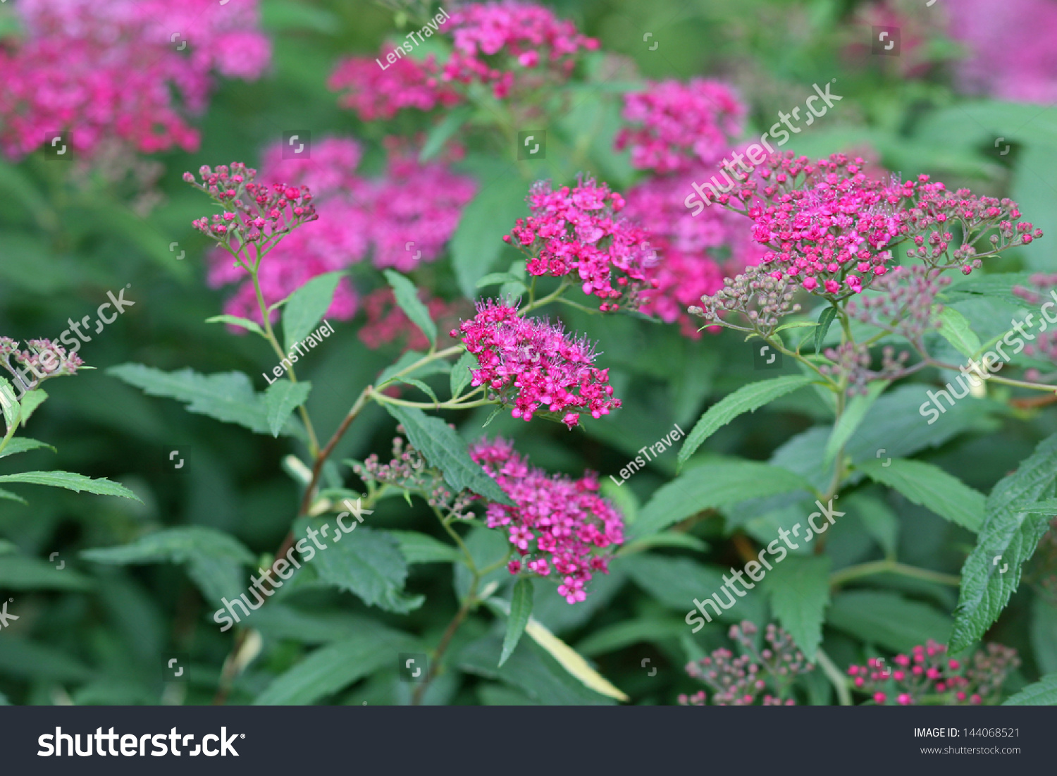 Pink Flowers Of Spiraea Japonica Meadowsweet Ez Canvas