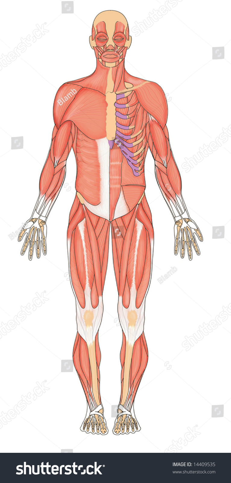 Anterior View Human Muscular System Stock Illustration 14409535