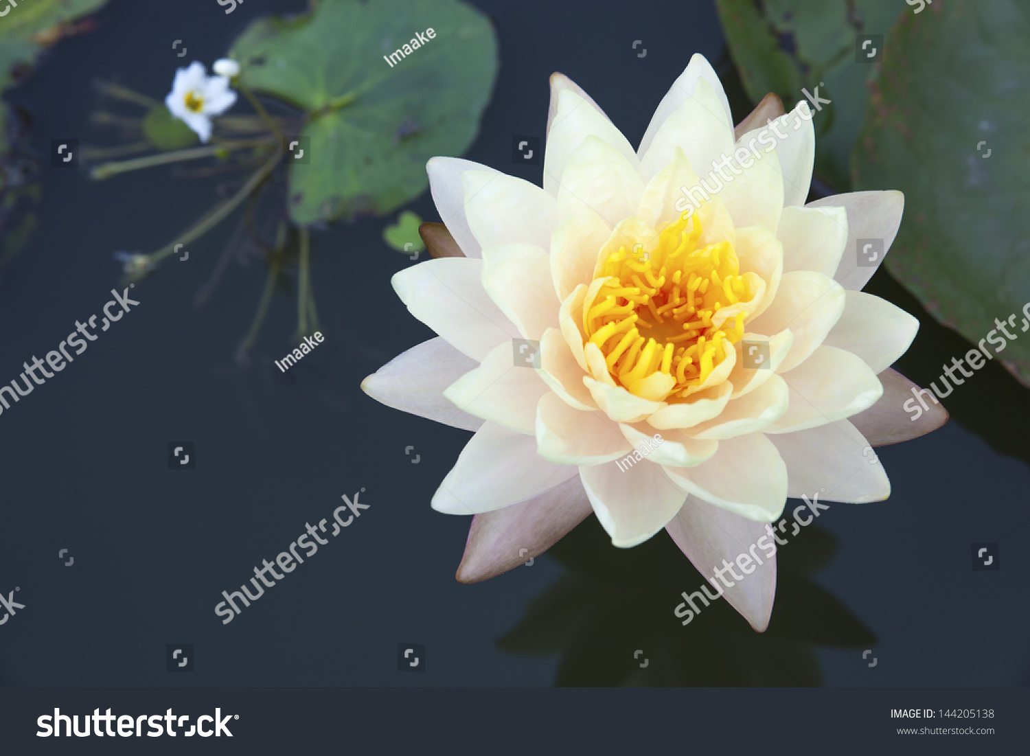 Blossom Lotus Flower Pond Focus On Stock Photo Edit Now 144205138