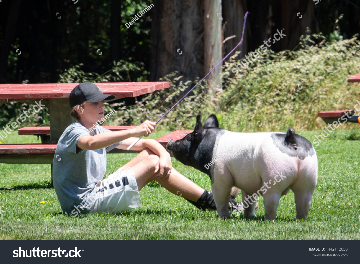 Salinas, California - June 29, 2019: A boy and his pig play in a local park after taking a walk. 4H club.