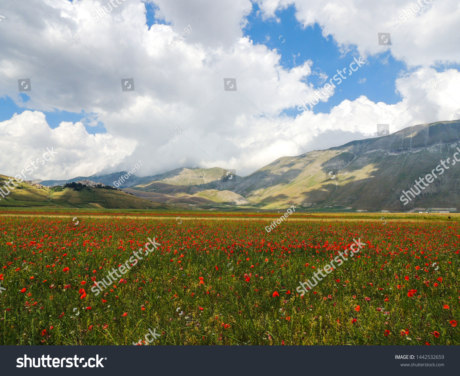 Flowering of lentils in Castelluccio di Norcia, Umbria, Italy.