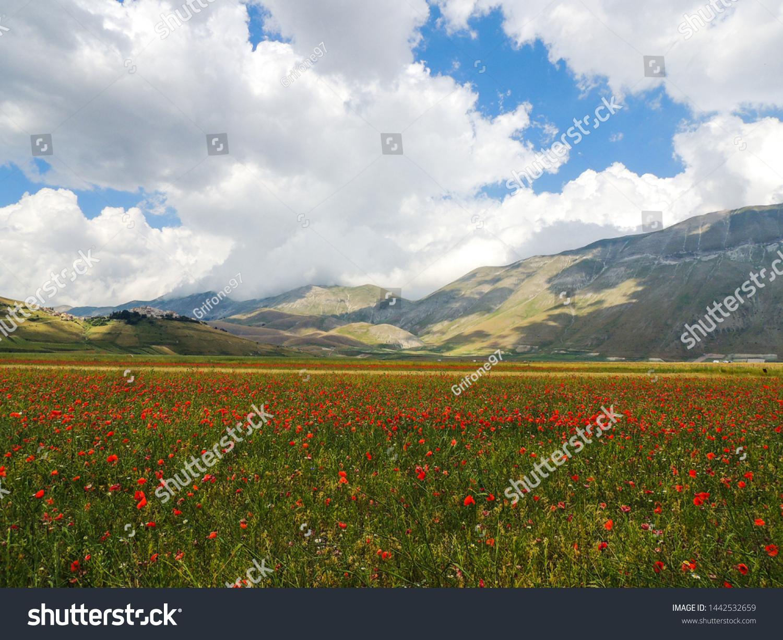 Flowering of lentils in Castelluccio di Norcia, Umbria, Italy.
