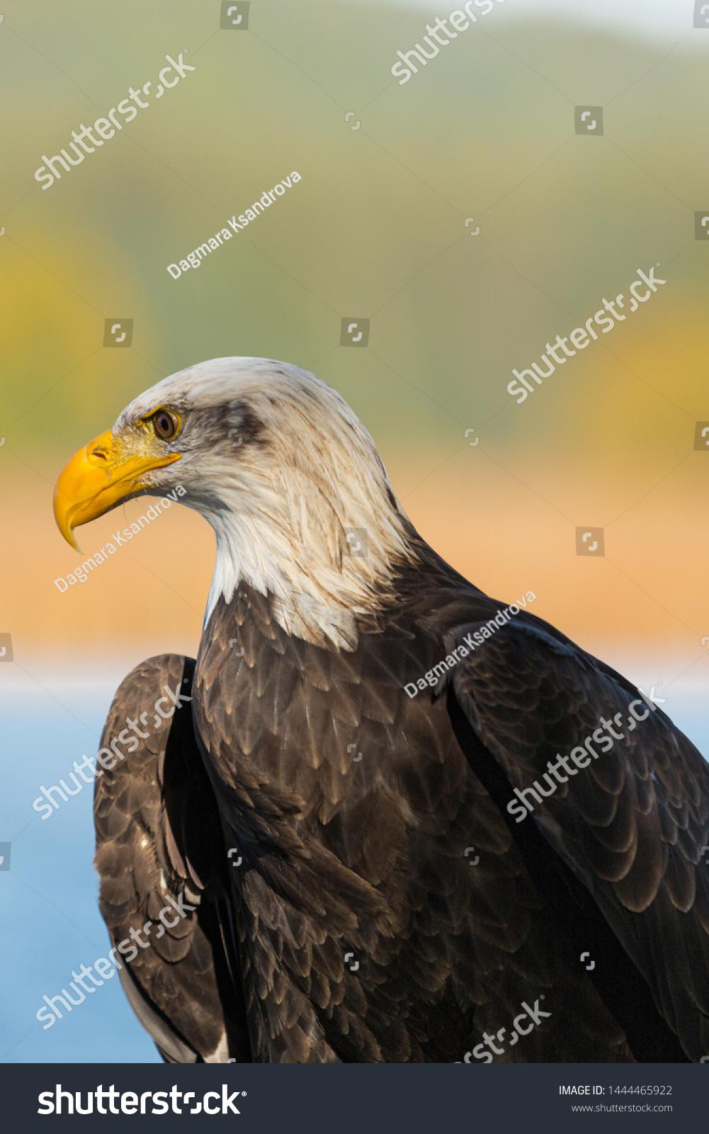 - Majestic Bald Eagle Portrait Autumn Colors Stock Photo (Edit Now