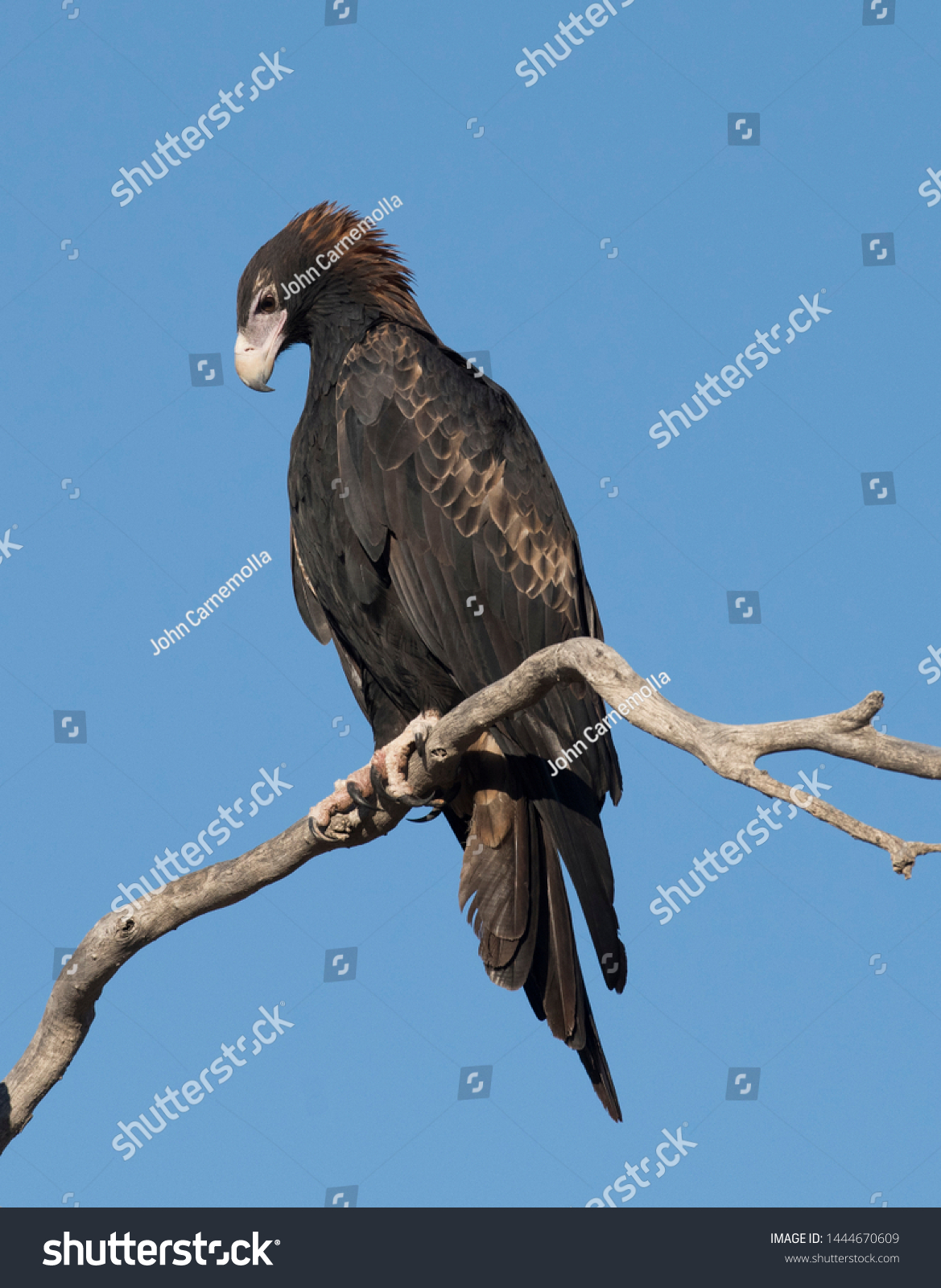 Wedge Tailed Eagle Outback Queensland Australia Animals Wildlife Stock Image 1444670609