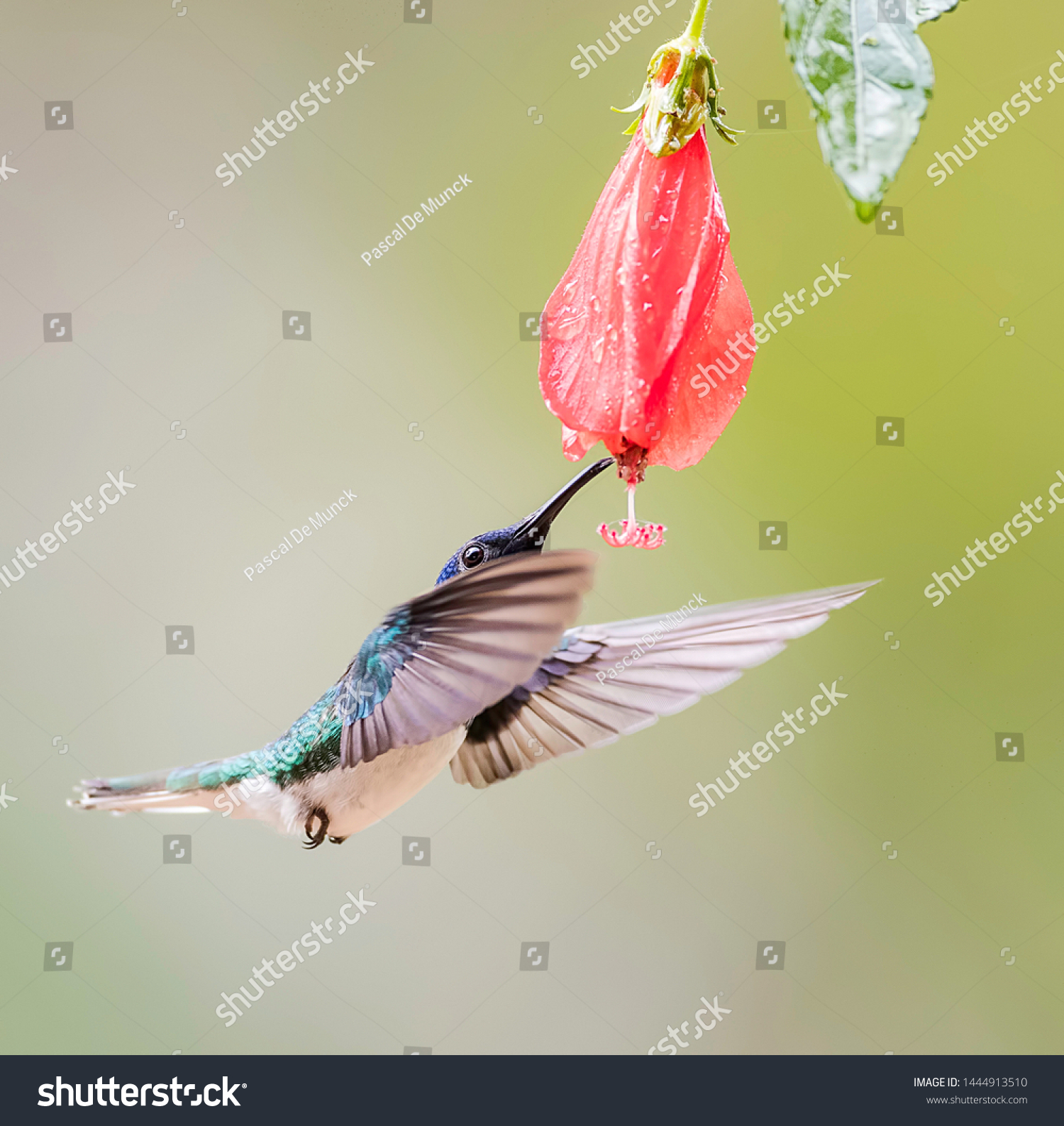 White necked jacobin dinking of a flower in flight #1444913510