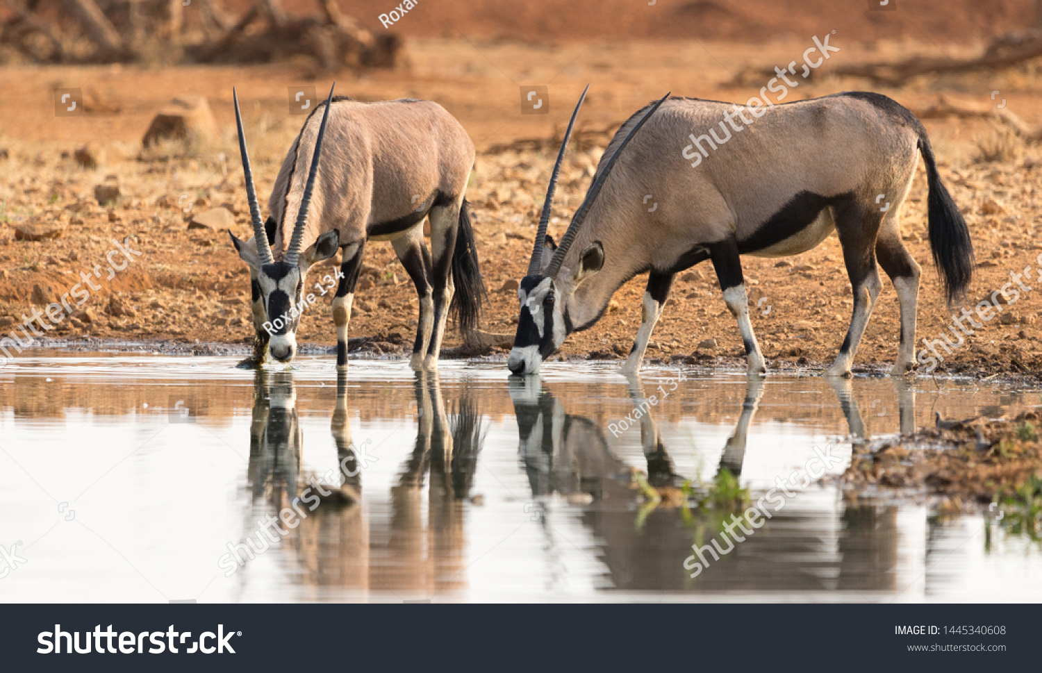 stock-photo-two-or-a-pair-of-oryx-or-gem