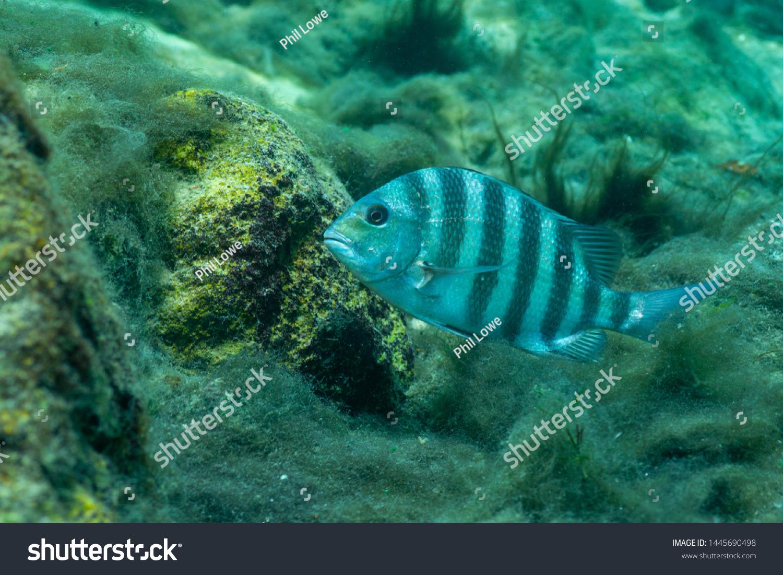 stock-photo-a-sheepshead-fish-archosargu