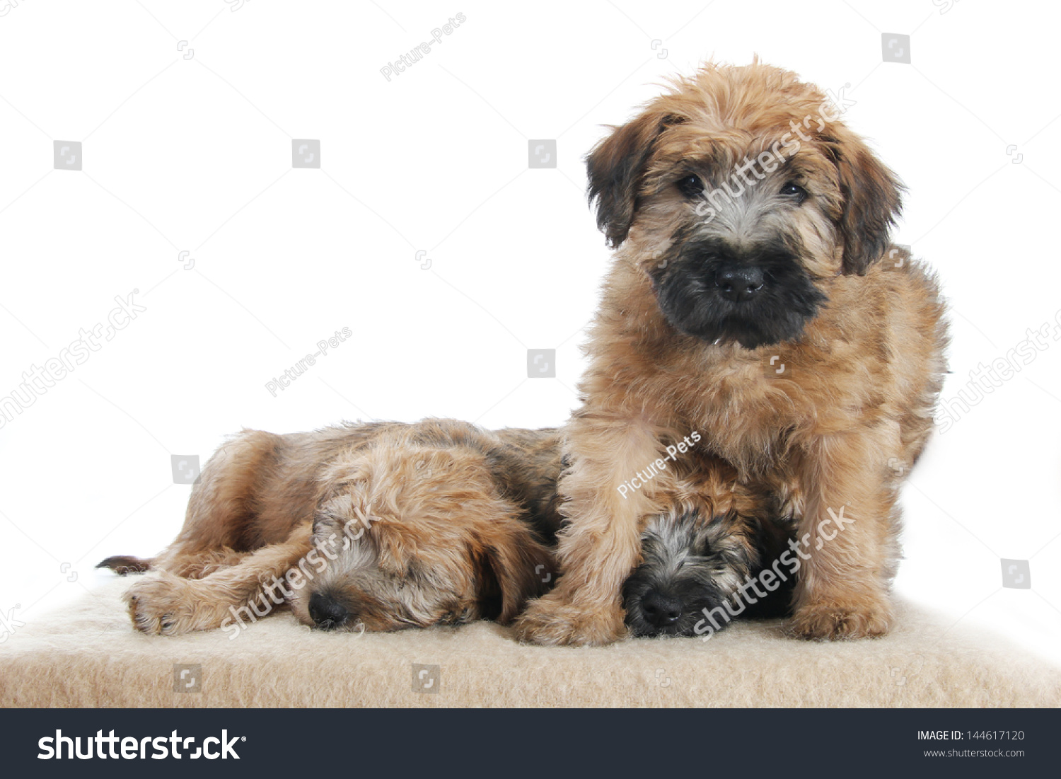 Perfect Wire Haired Wheaten Terrier Picture Collection - Electrical ...