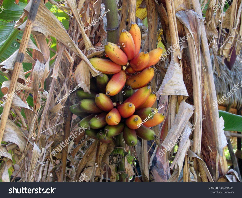 Red ripe bananas on banana tree Caribbean close up