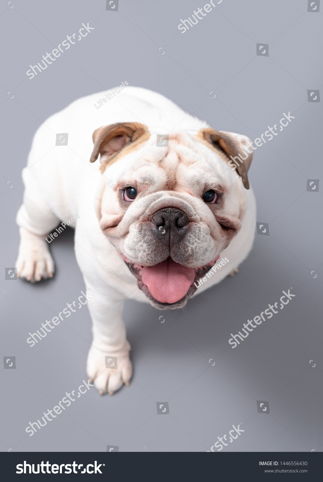 British Bulldog Puppy Looking Isolated Against Stock Photo Edit Now 1446556430