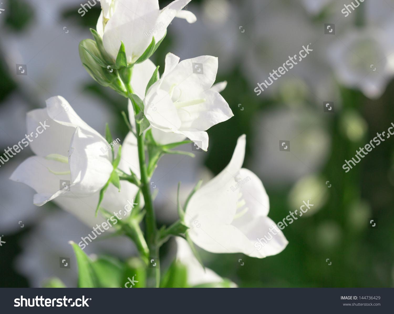 White Bellflowers Ez Canvas