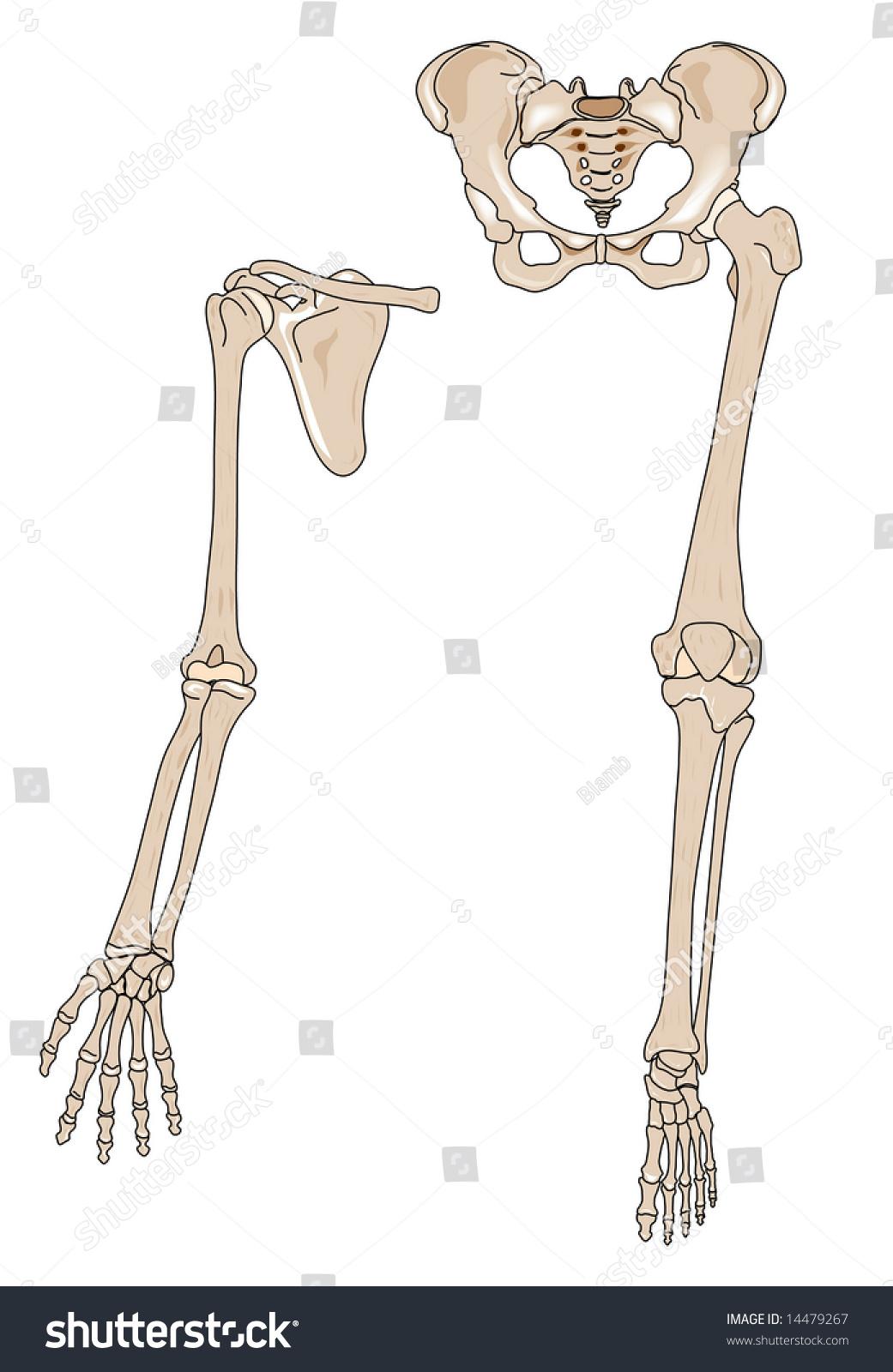 Human Arm Leg Bones Stock Illustration Royalty Free Stock