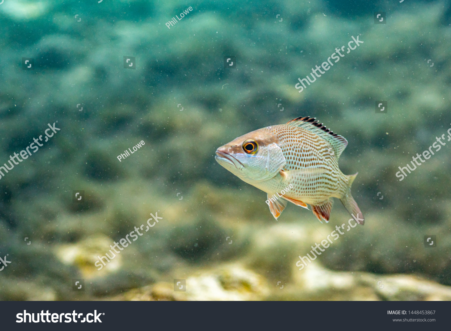 stock-photo-a-curious-mangrove-snapper-l
