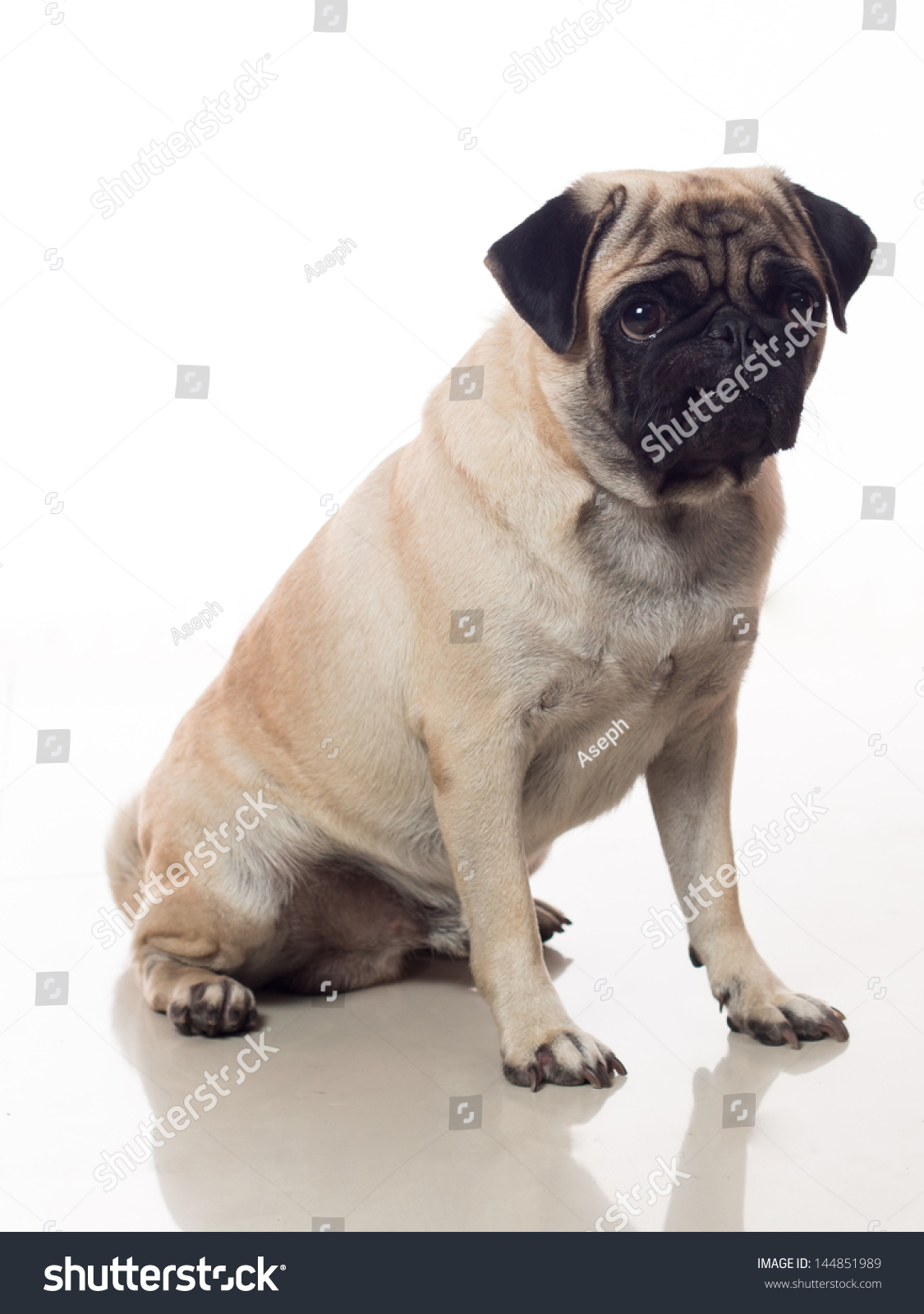 Portrait pug dog sitting down stock photo 144851989 shutterstock portrait of pug dog sitting down nvjuhfo Images