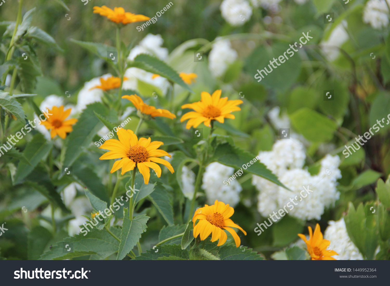 Beautiful Flowers Yellow Echinacea Garden Beautiful Stock Photo