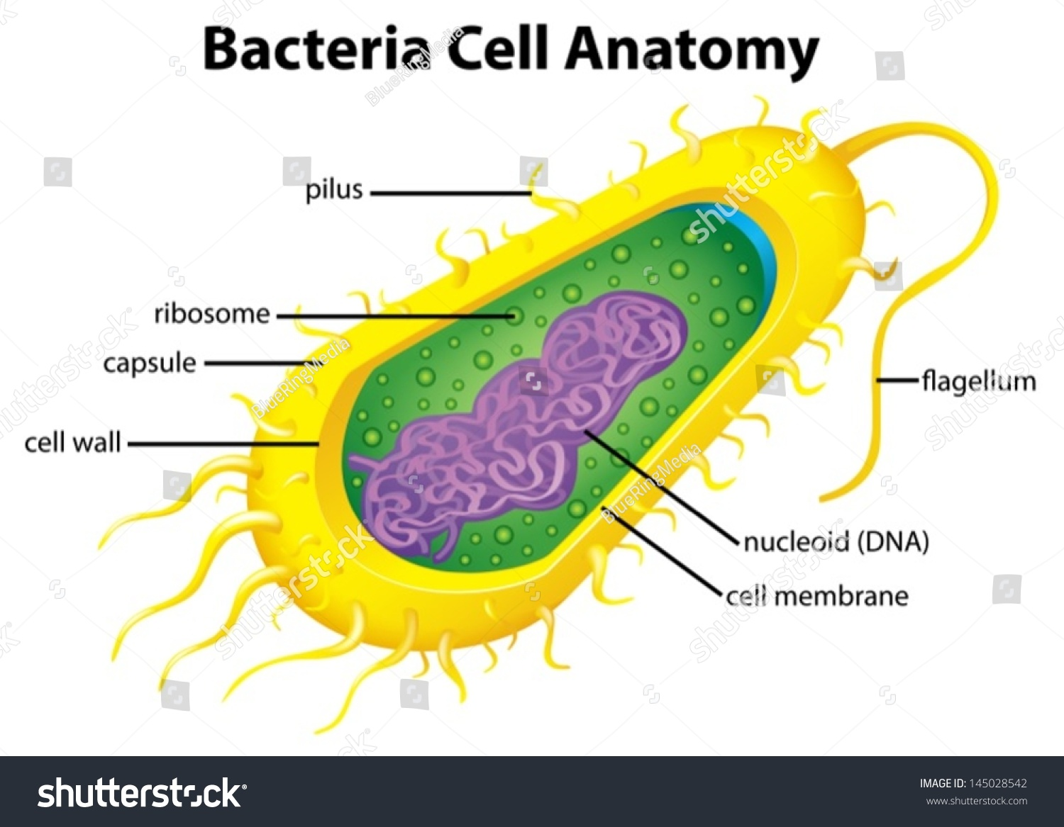 bacterial cell Bacteria cells vs animal cells the main difference between an animal cell and a bacterial cell is that a bacterial cell contains a plasmid, a ring.