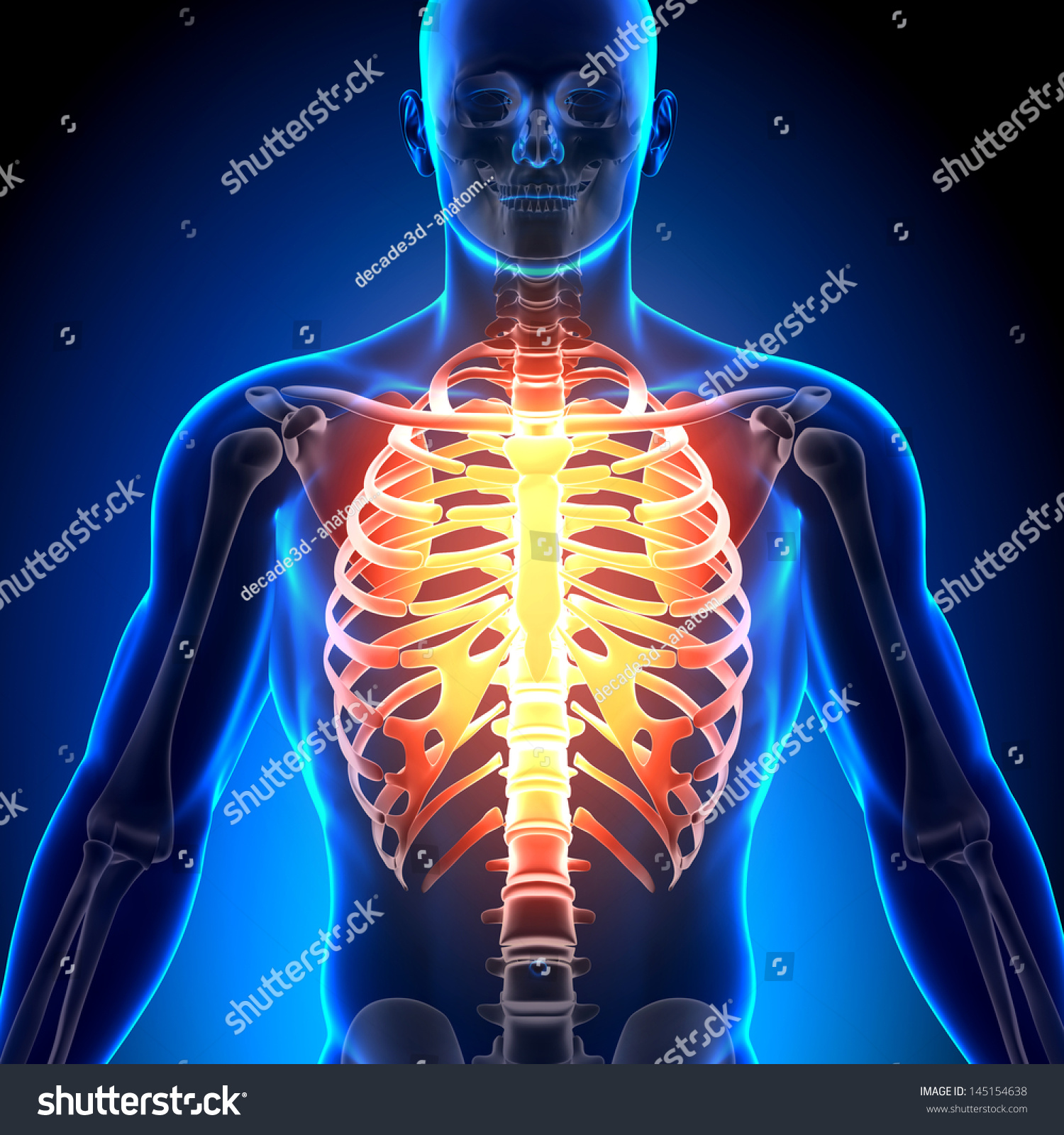 Male Rib Cage Anatomy Bones Stock Illustration 145154638 - Shutterstock