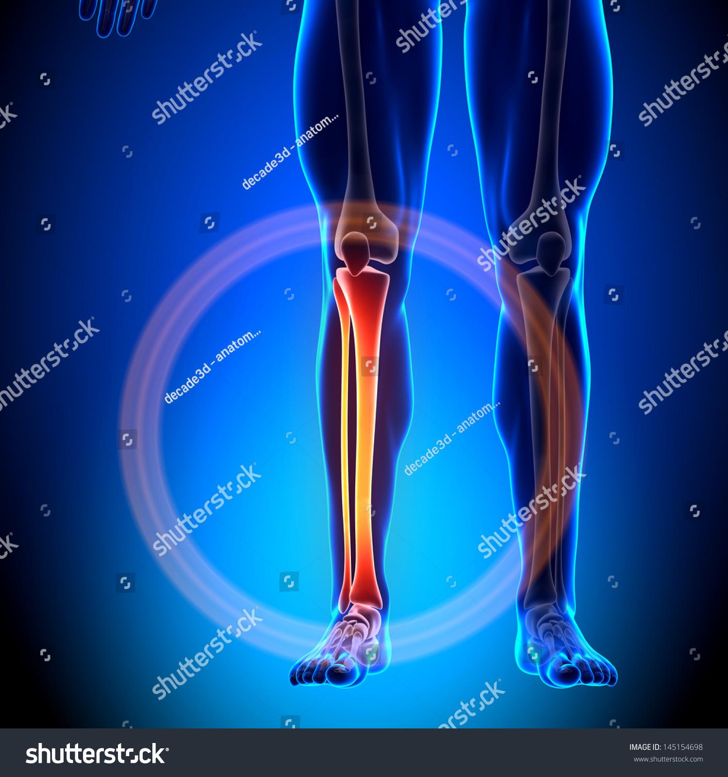 Male Tibia Fibula Anatomy Bones Stock Illustration 145154698 ...