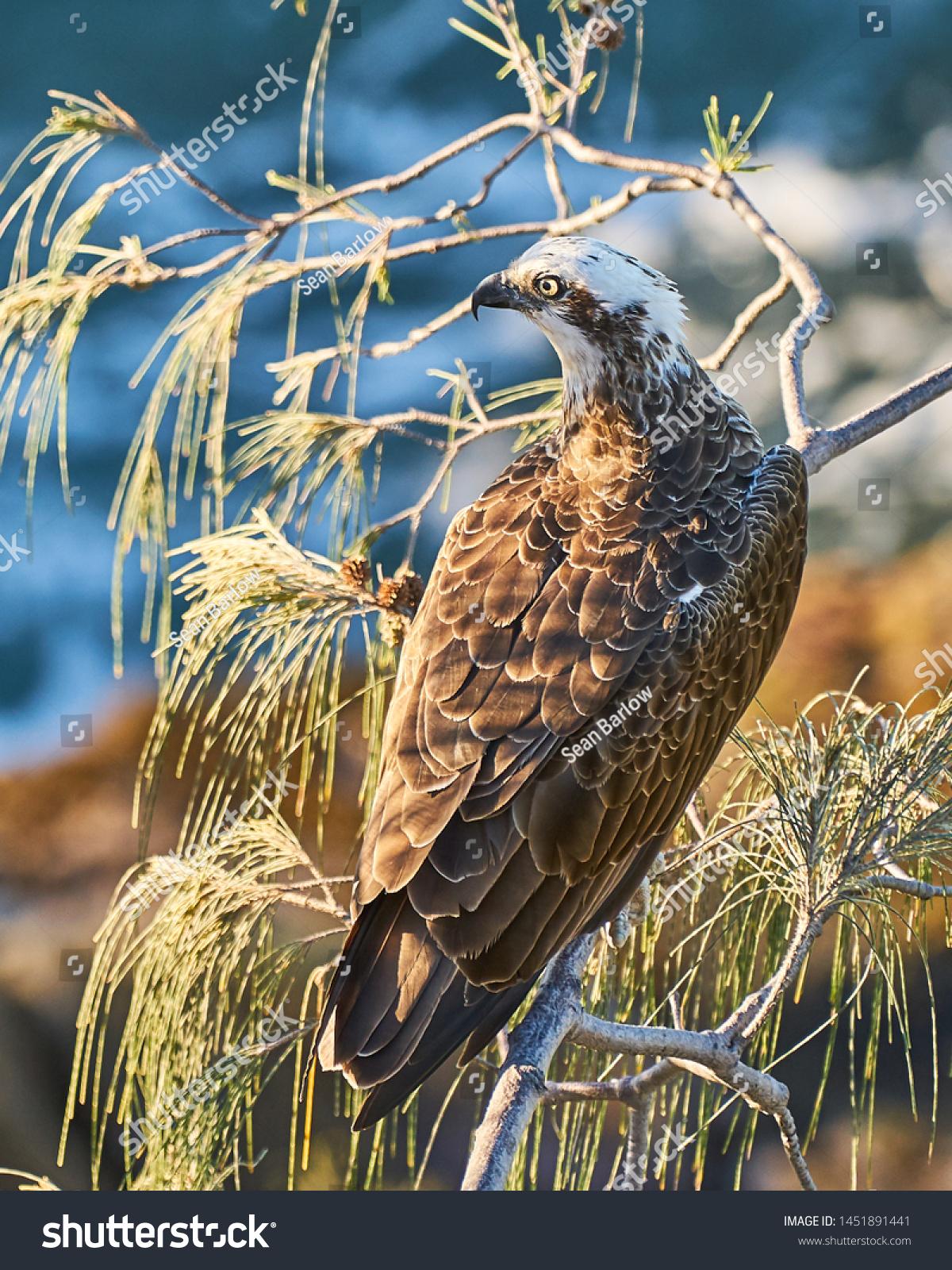Western Osprey Bird Prey Perched On Stock Photo Edit Now 1451891441