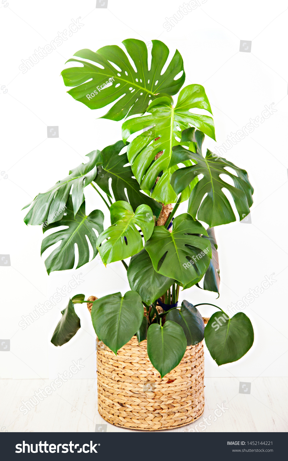 A photo of a large, mature, Monstera deliciosa pot plant, also known as the Swiss Cheese Plant, with large glossy, green leaves, potted in a round basket, isolated on a white background. #1452144221