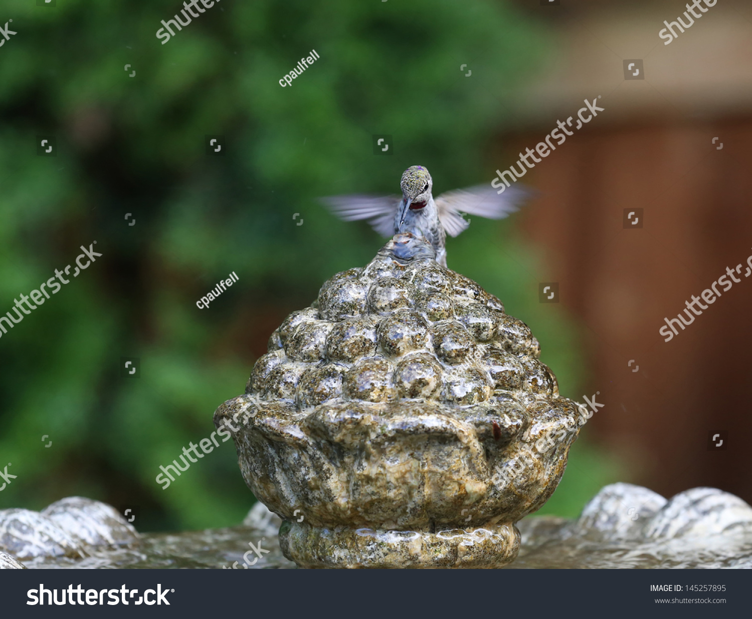 stock-photo-anna-s-hummingbird-bathing-i