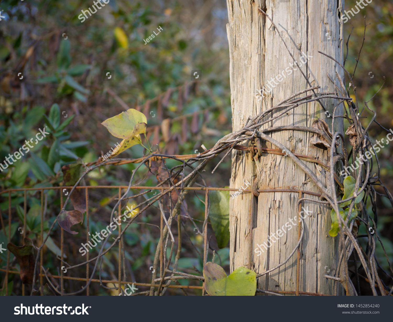 Wild Climbing Vines On Fence Post Stock Photo Edit Now 1452854240