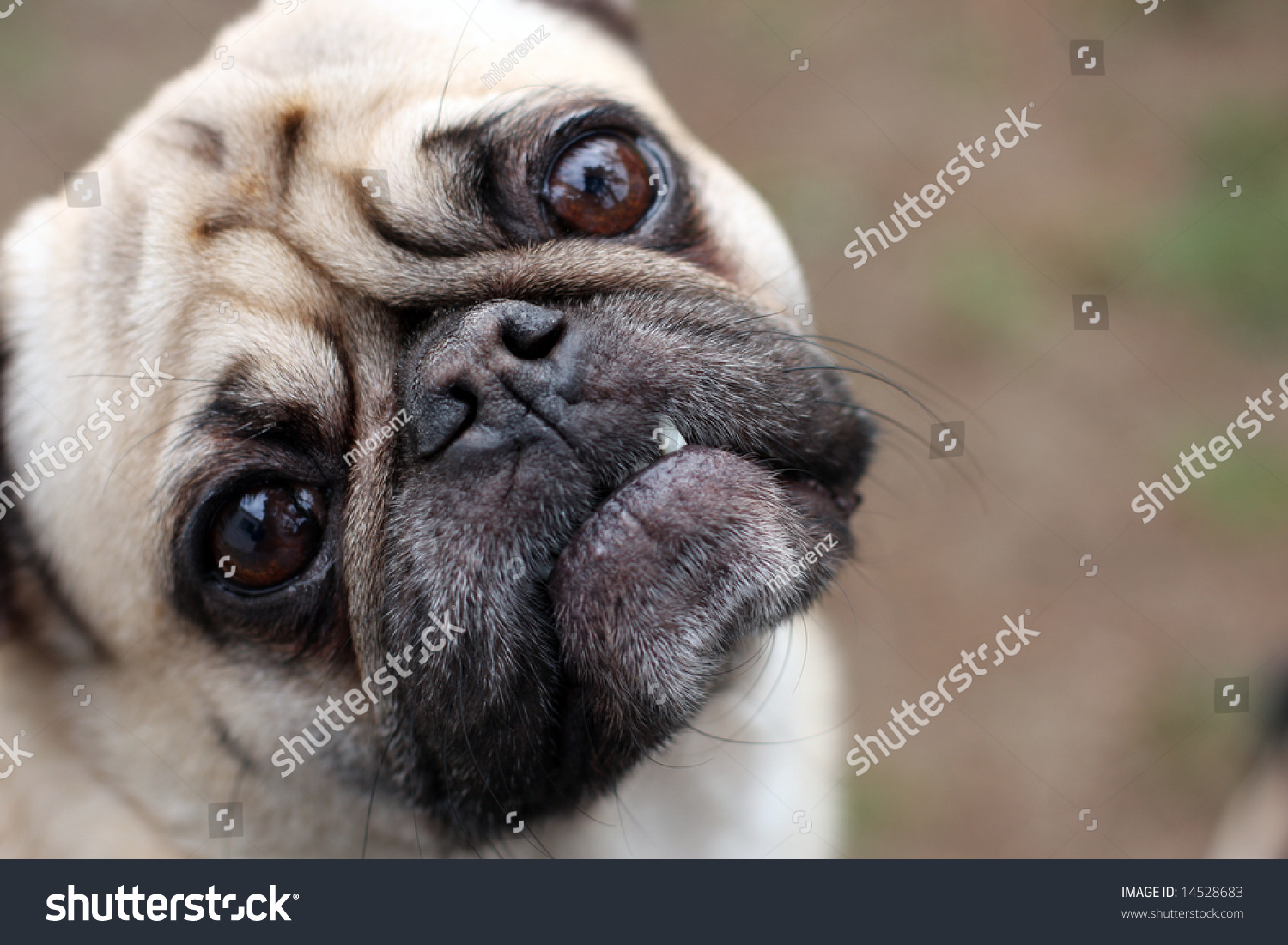 Pug Making A Funny Face. Stock Photo 14528683 : Shutterstock