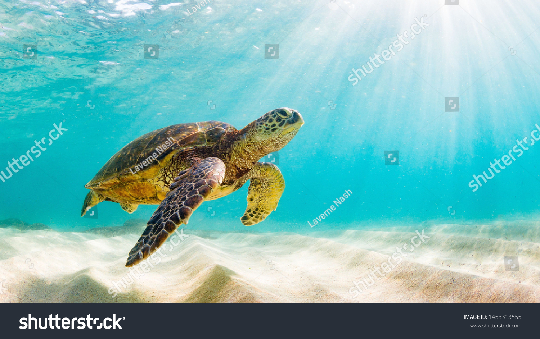 photo of Sea turtle in the Galapagos island #1453313555