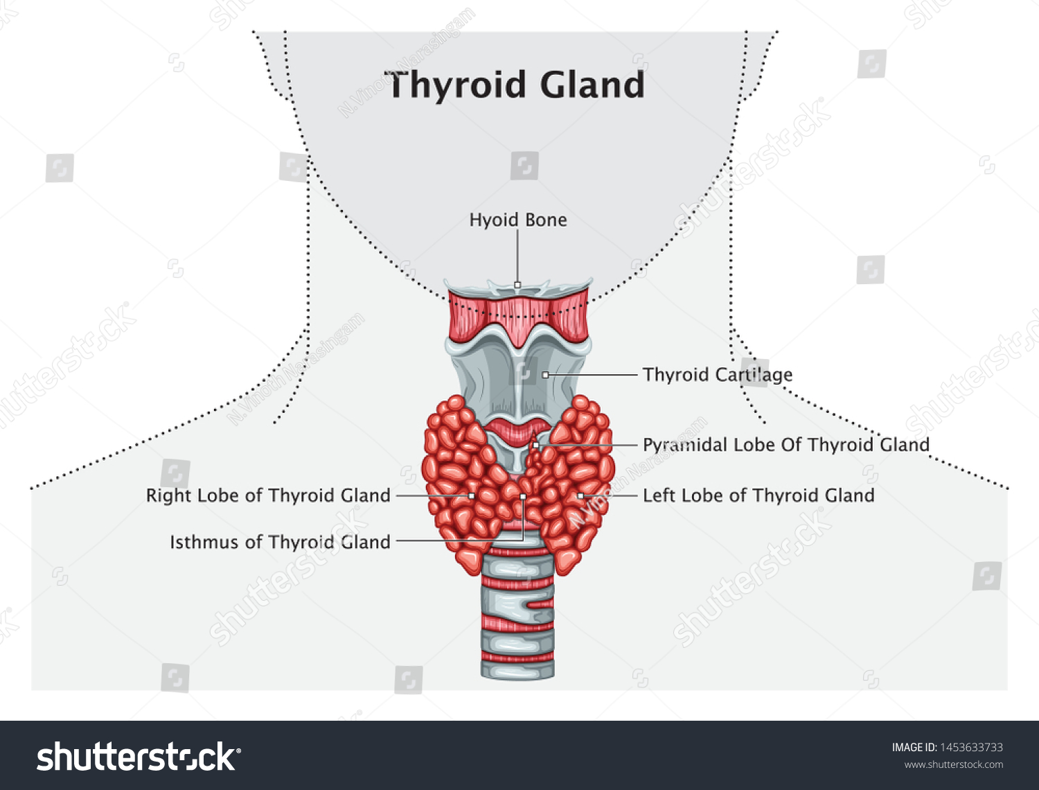Human Thyroid Gland Anatomy Medical Education Stock Vector