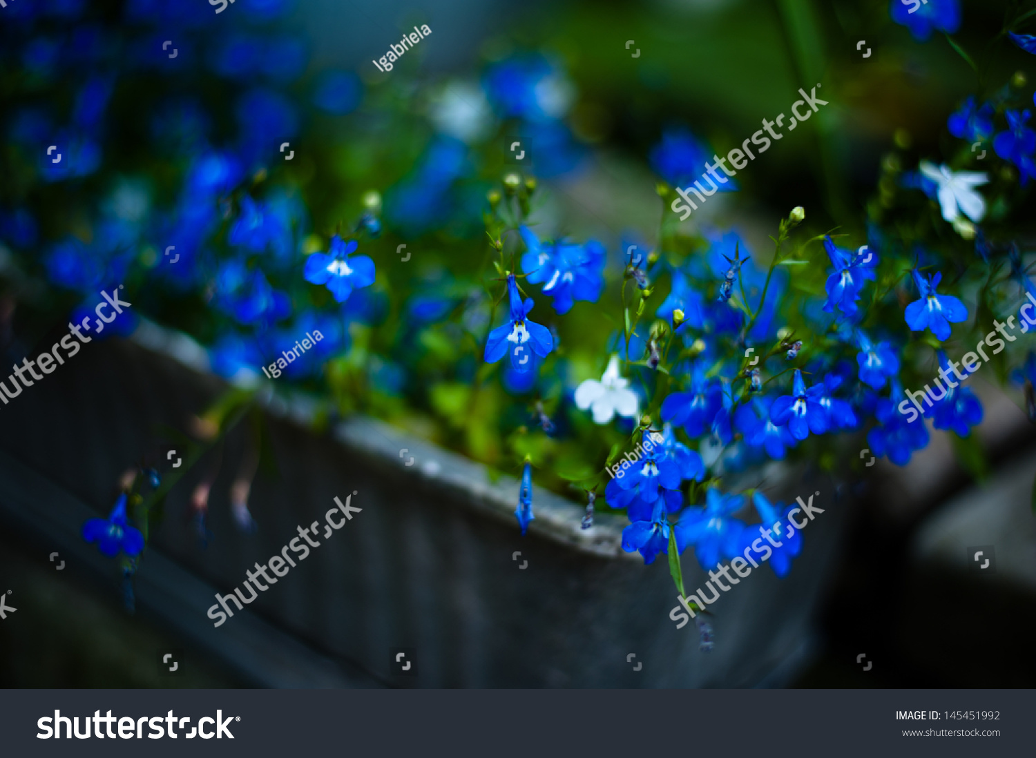 Small blue flowers stock photo edit now 145451992 shutterstock small blue flowers izmirmasajfo