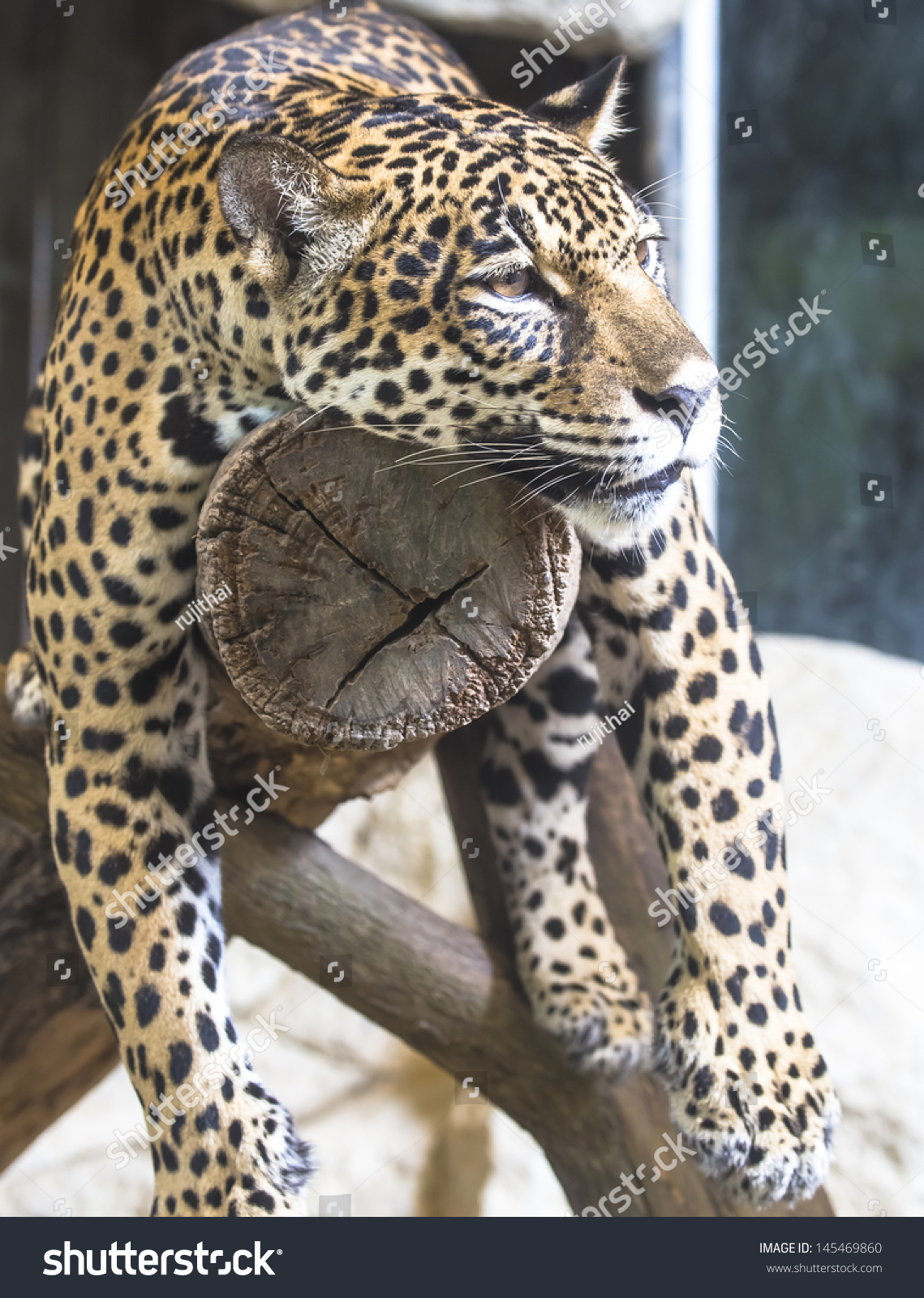 leopard and jaguar hybrid - photo #3