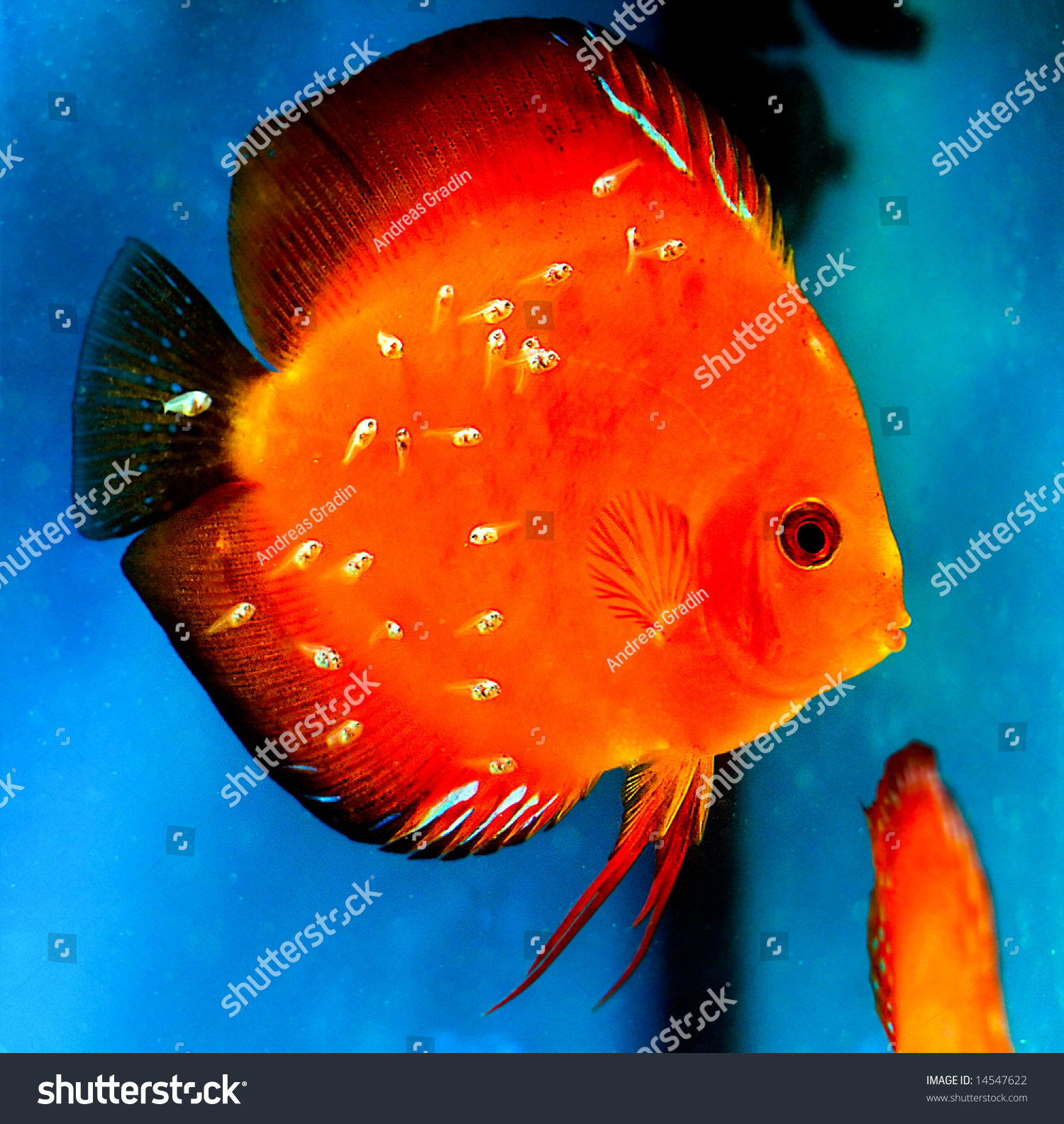 Colorful Marlboro Red Discus Fish Newly Stock Photo (Royalty Free ...