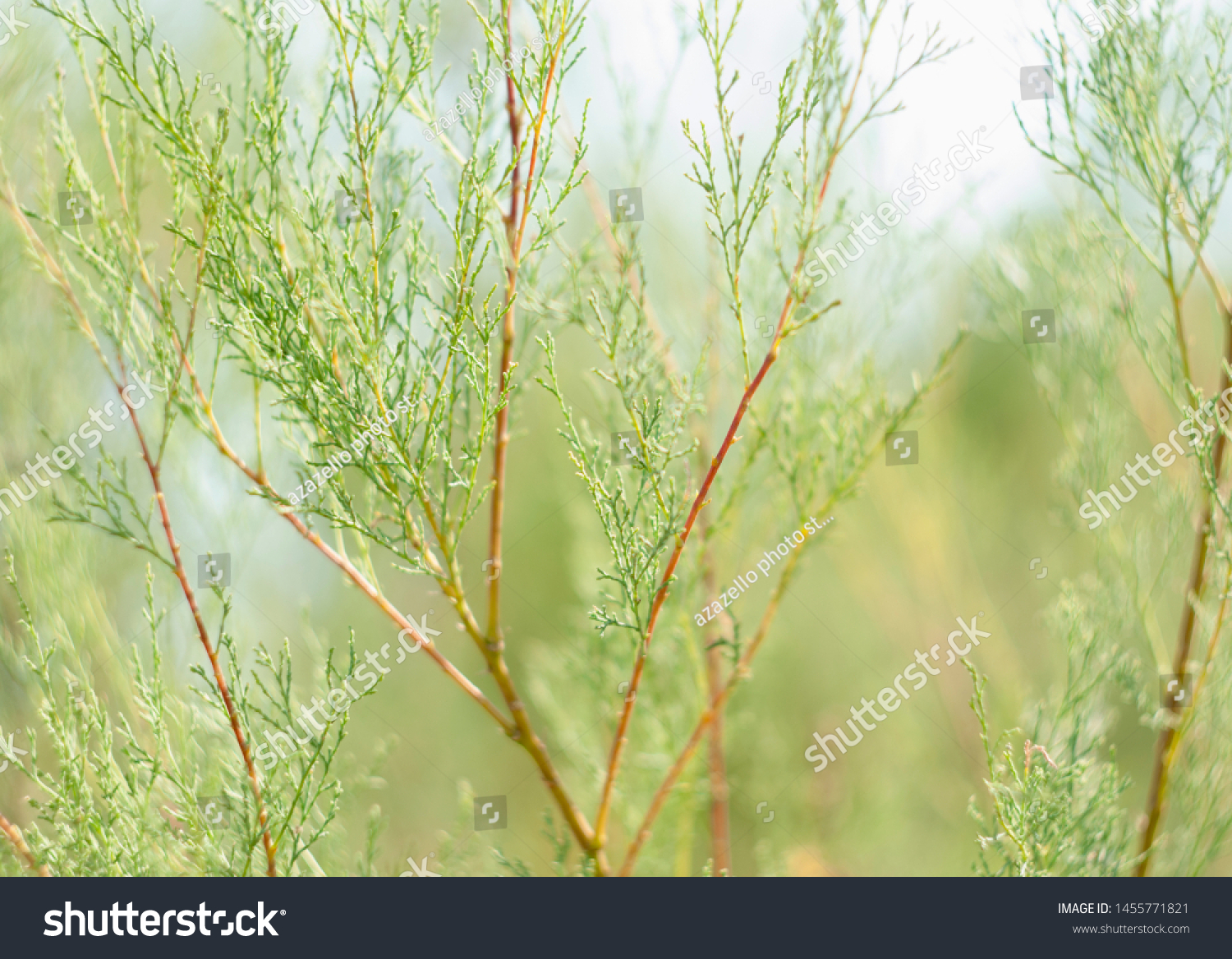 Evergreen plant. Branches of an evergreen bush #1455771821
