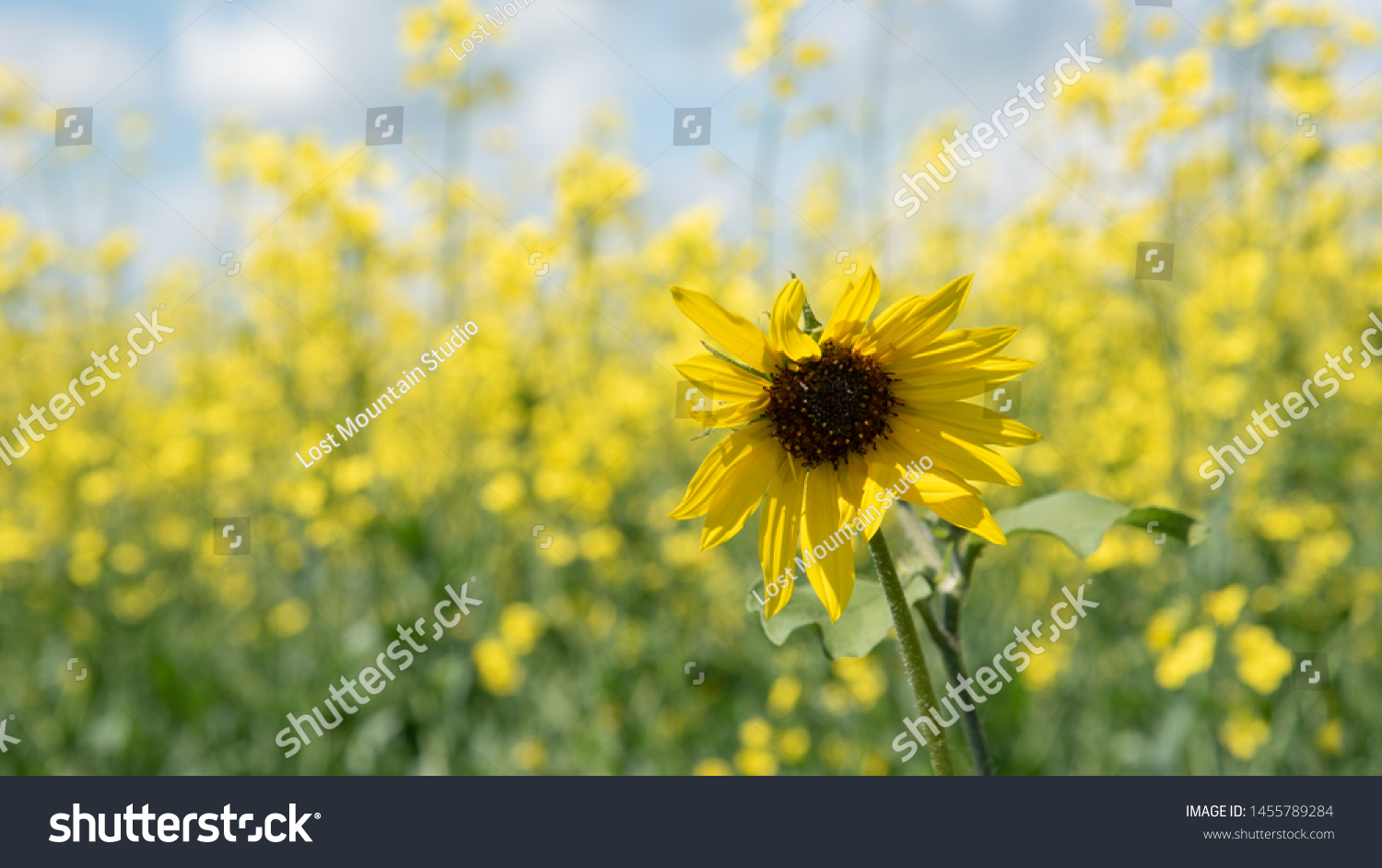stock-photo-wild-sunflower-in-front-of-a